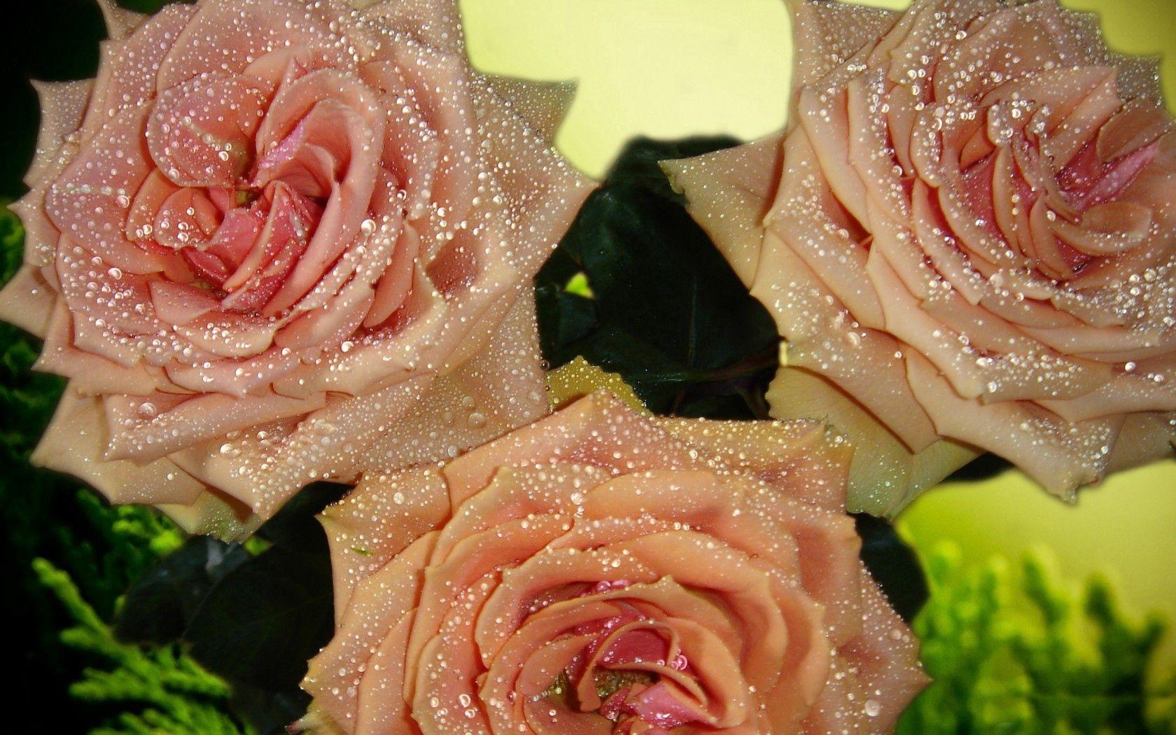 94641 скачать обои Бутоны, Букет, Роса, Цветы, Розы, Капли, Макро, Лепестки - заставки и картинки бесплатно