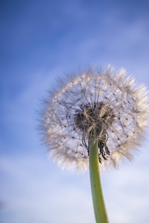 156514 скачать обои Природа, Одуванчик, Растение, Пух, Небо - заставки и картинки бесплатно
