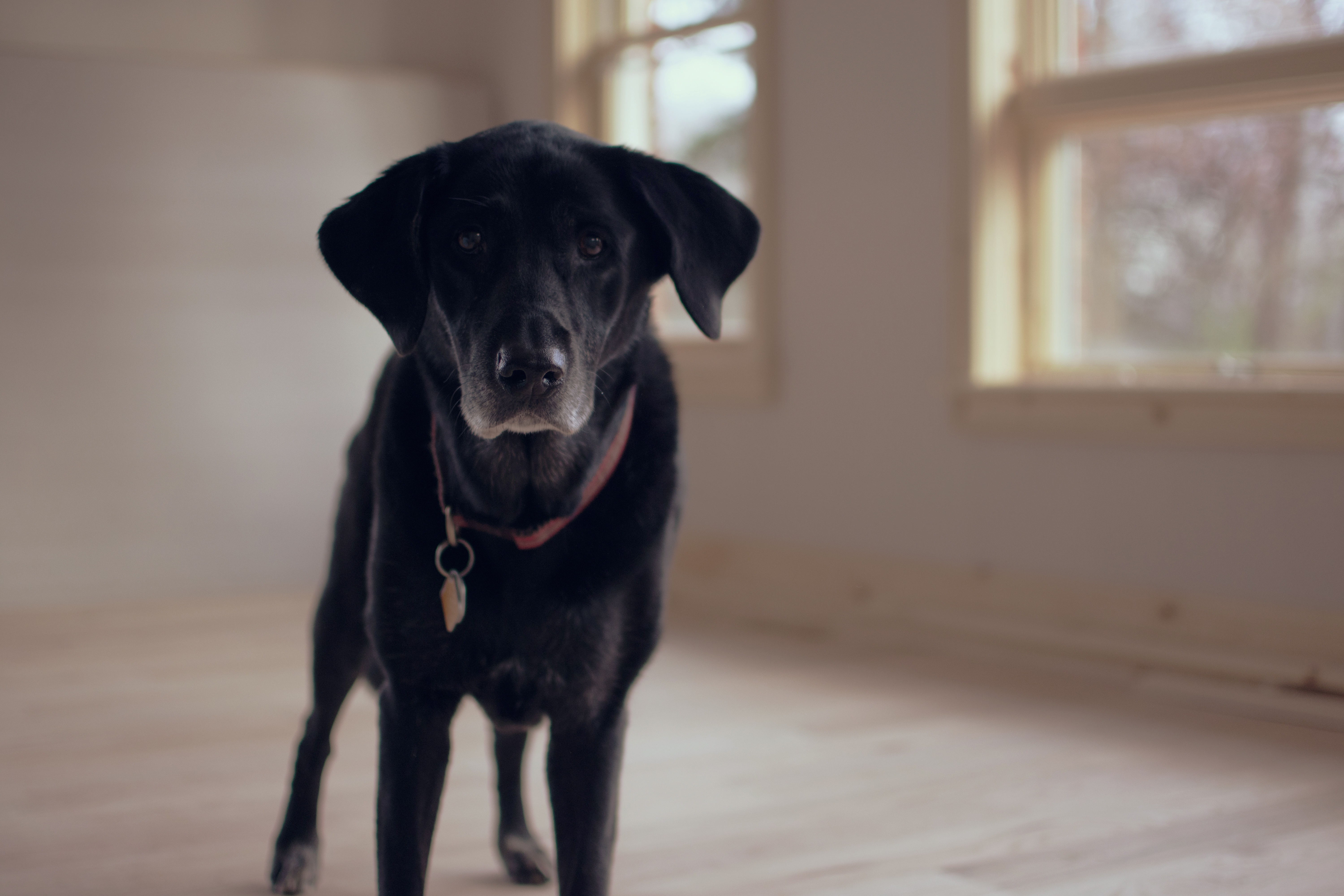 53737 Screensavers and Wallpapers Collar for phone. Download Animals, Dog, Collar, Labrador Retriever pictures for free