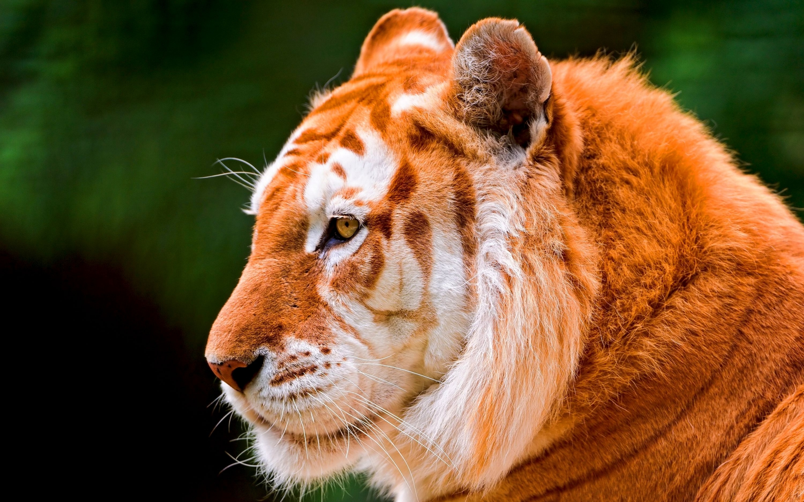 48918 download wallpaper Animals, Tigers screensavers and pictures for free