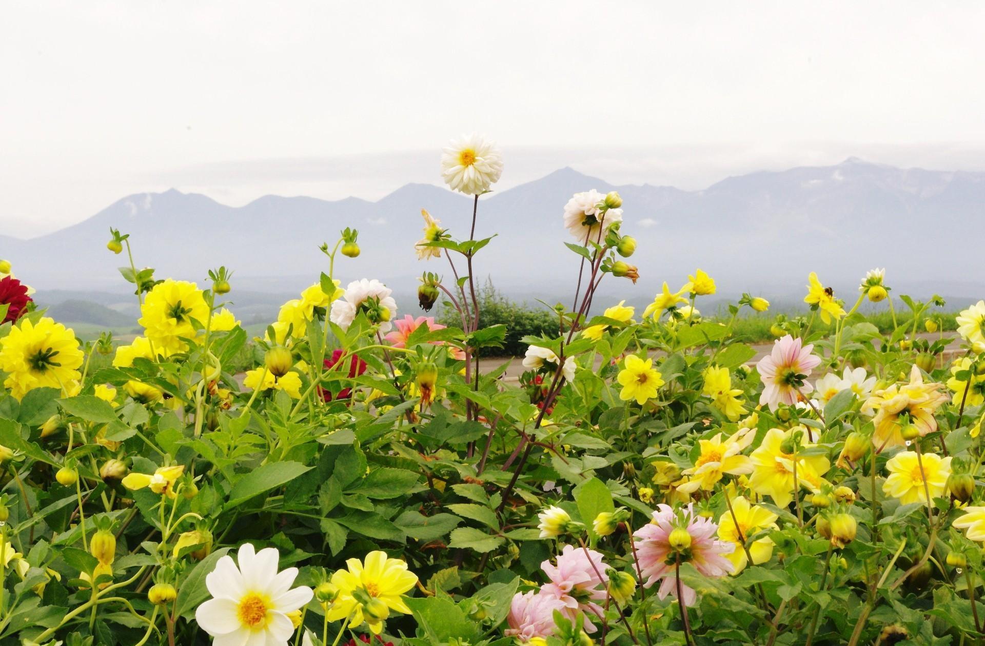 96322 скачать обои Цветы, Георгины, Клумба, Горизонт, Небо, Горы - заставки и картинки бесплатно