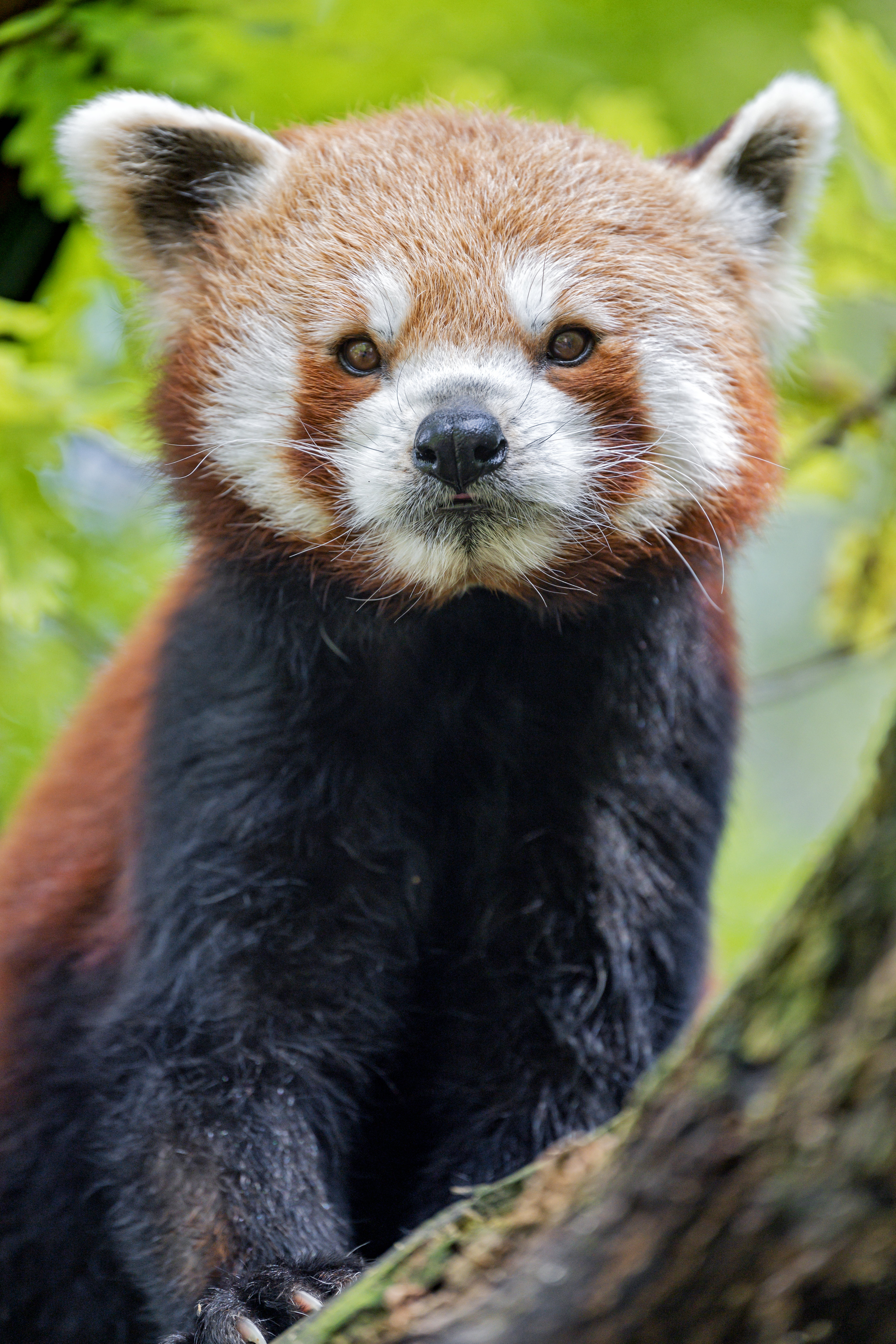 112755 download wallpaper Animals, Red Panda, Panda, Muzzle, Animal screensavers and pictures for free