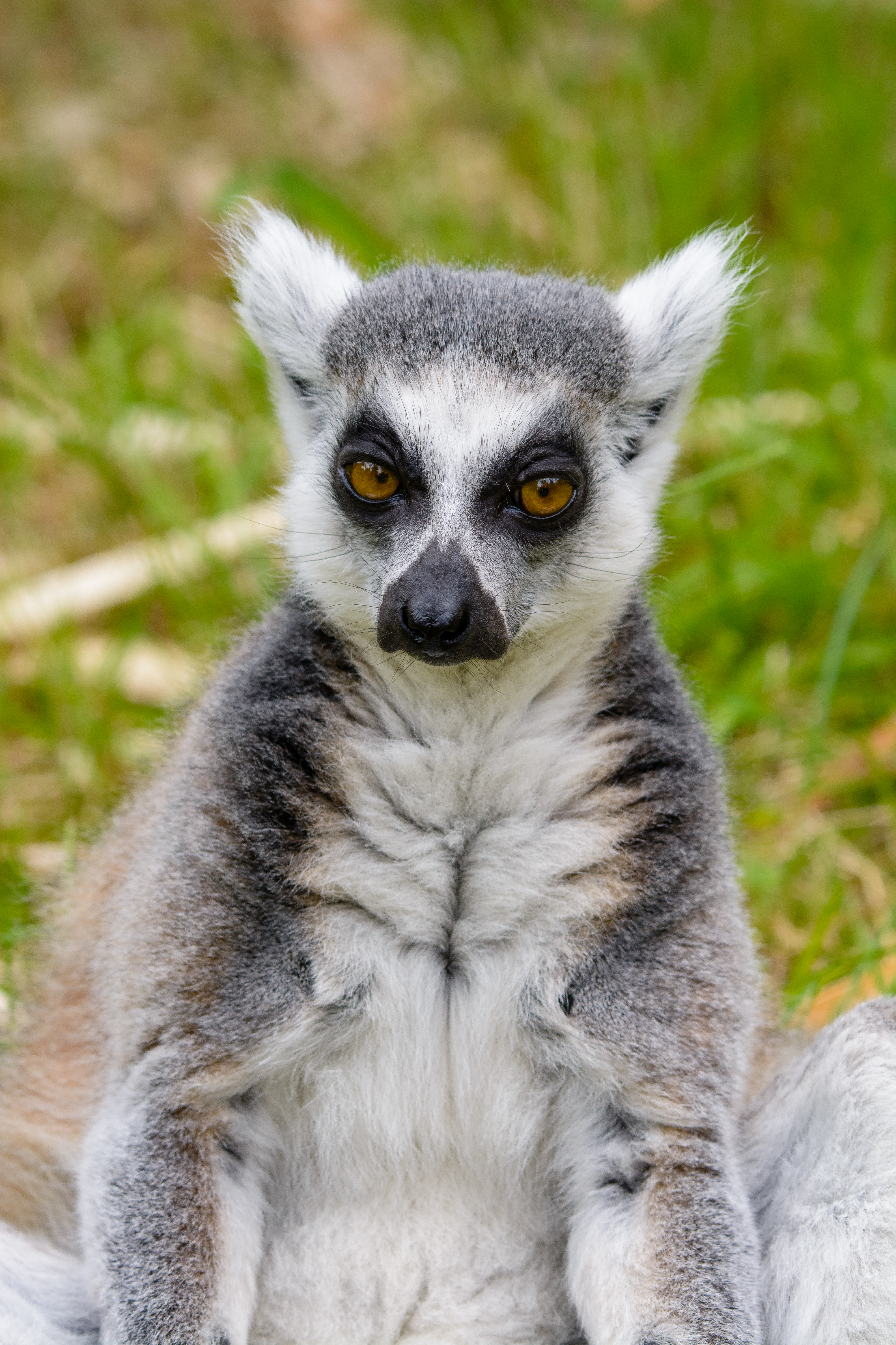 108623 download wallpaper Animals, Lemur, Sight, Opinion, Pensive screensavers and pictures for free