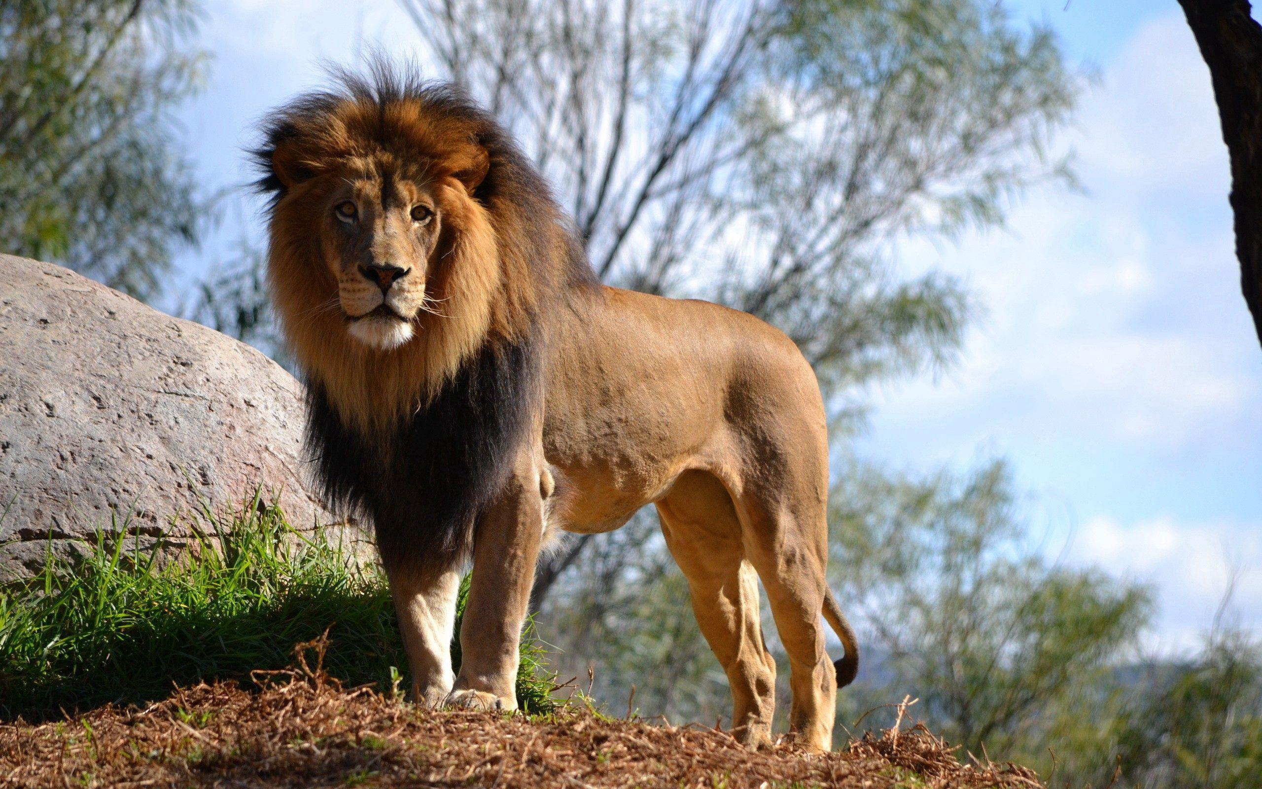 141104 Protetores de tela e papéis de parede Leão em seu telefone. Baixe Leão, Animais, Grama, Céu, Madeira, Árvore, Um Leão fotos gratuitamente
