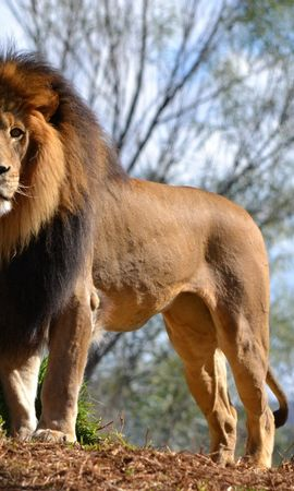 141104 download wallpaper Animals, Lion, Grass, Sky, Wood, Tree screensavers and pictures for free