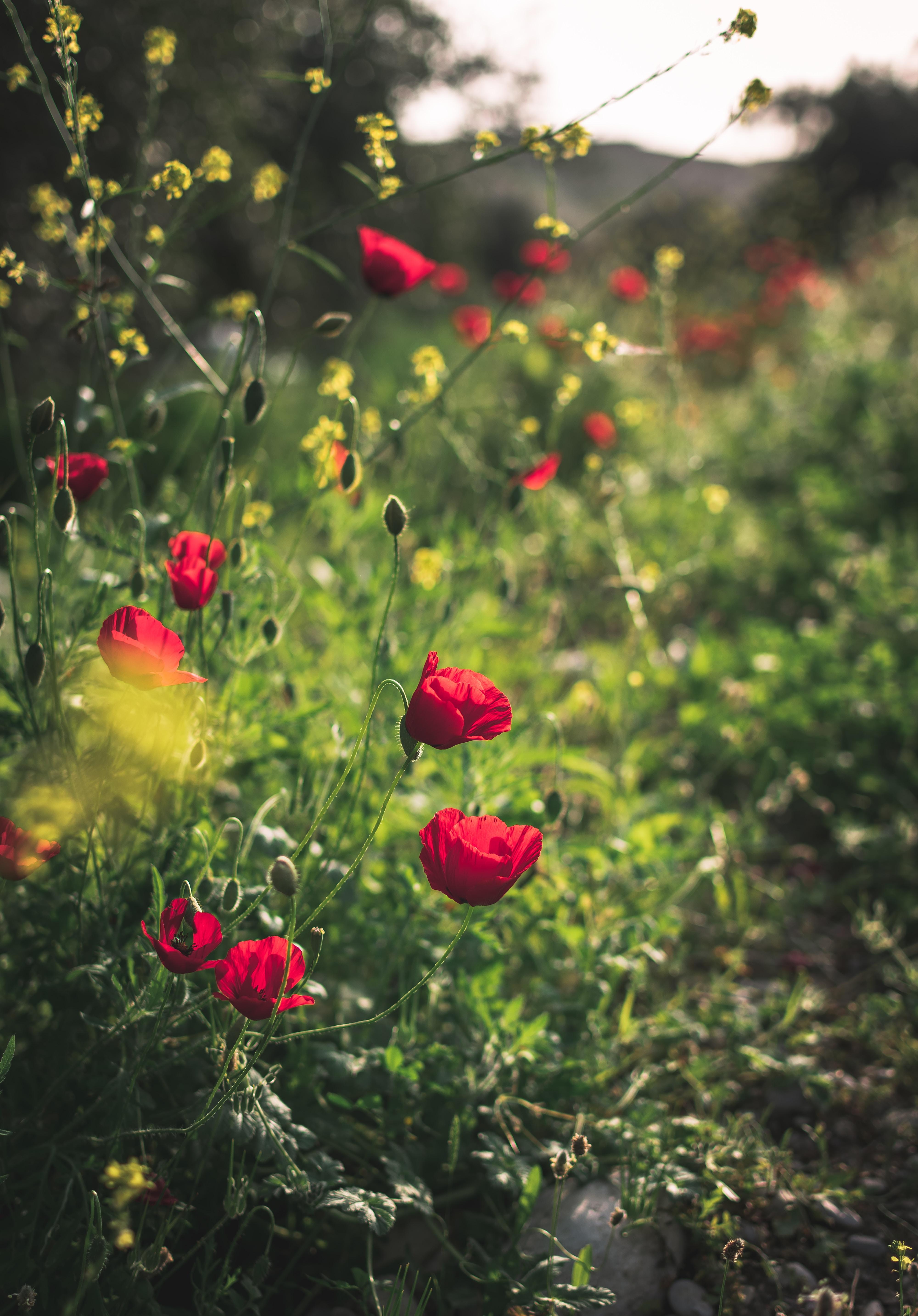 125994 скачать обои Цветы, Маки, Красный, Растение, Цветение - заставки и картинки бесплатно