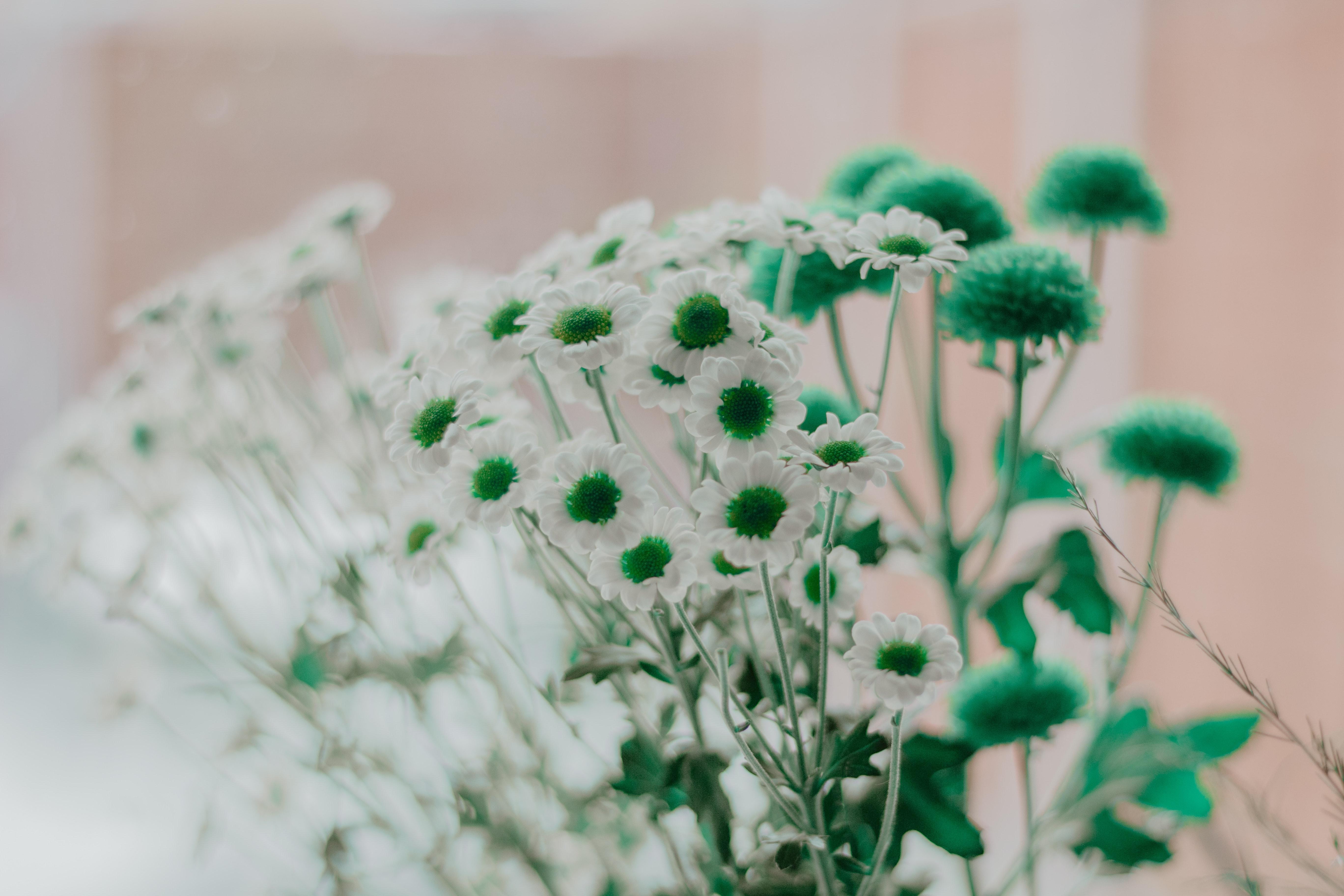 136255 Заставки и Обои Ромашки на телефон. Скачать Цветы, Ромашки, Зеленый, Белый картинки бесплатно