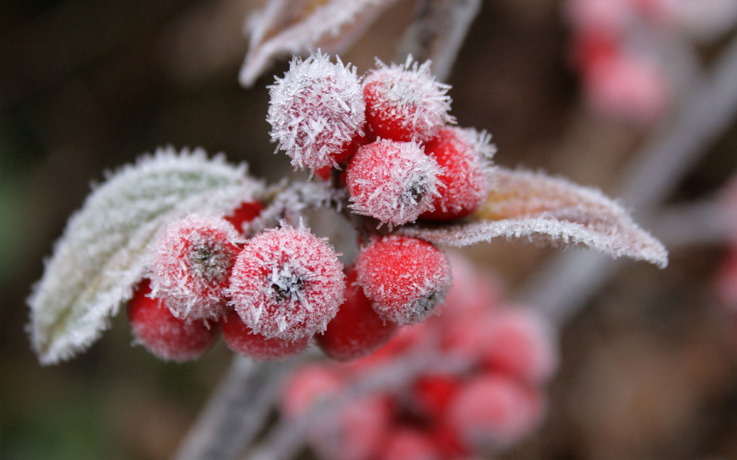 118899 download wallpaper Nature, Frost, Hoarfrost, Leaves, Berries screensavers and pictures for free