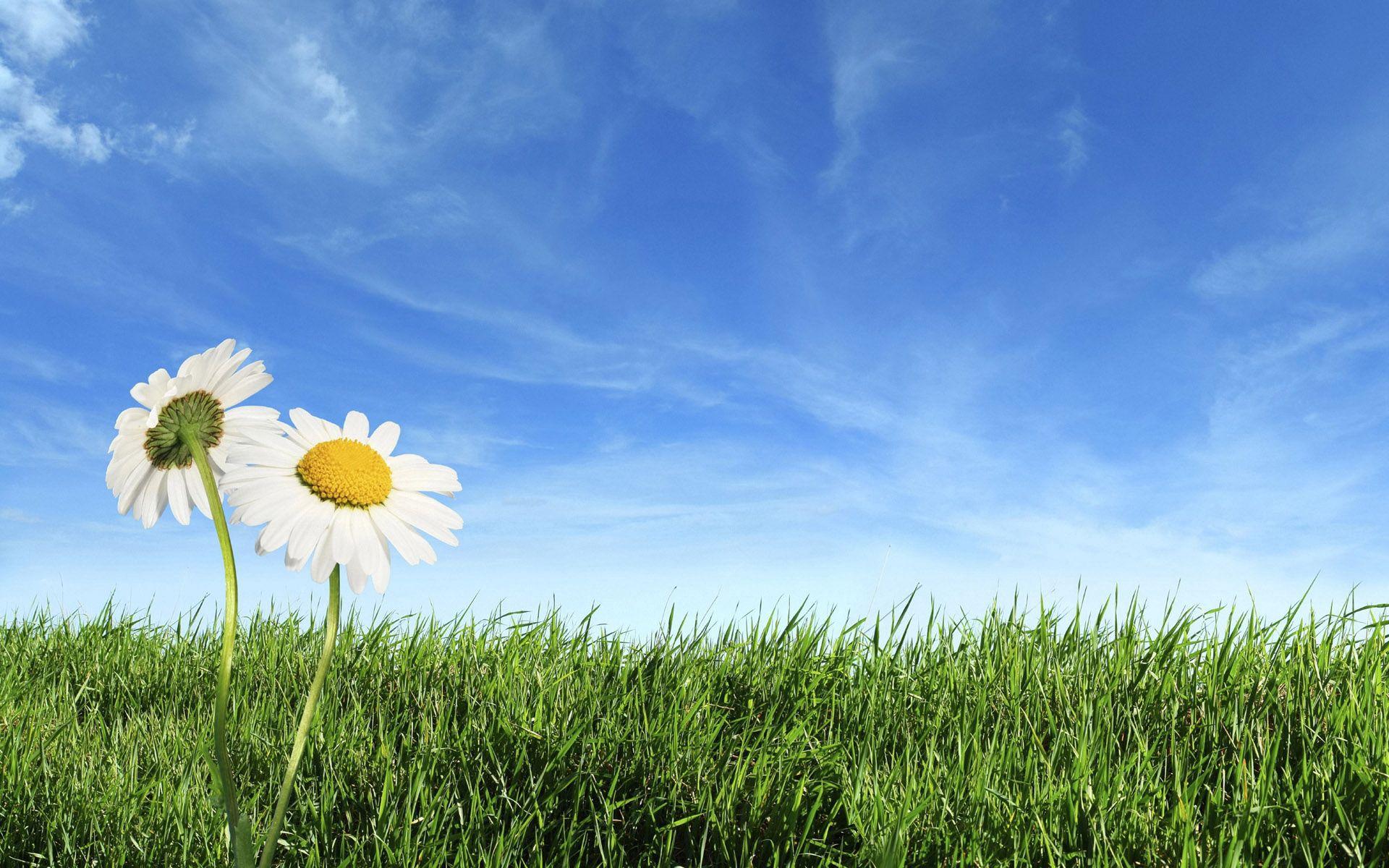 137737 Заставки и Обои Ромашки на телефон. Скачать Природа, Ромашки, Поле, Трава, Небо, Цветы картинки бесплатно