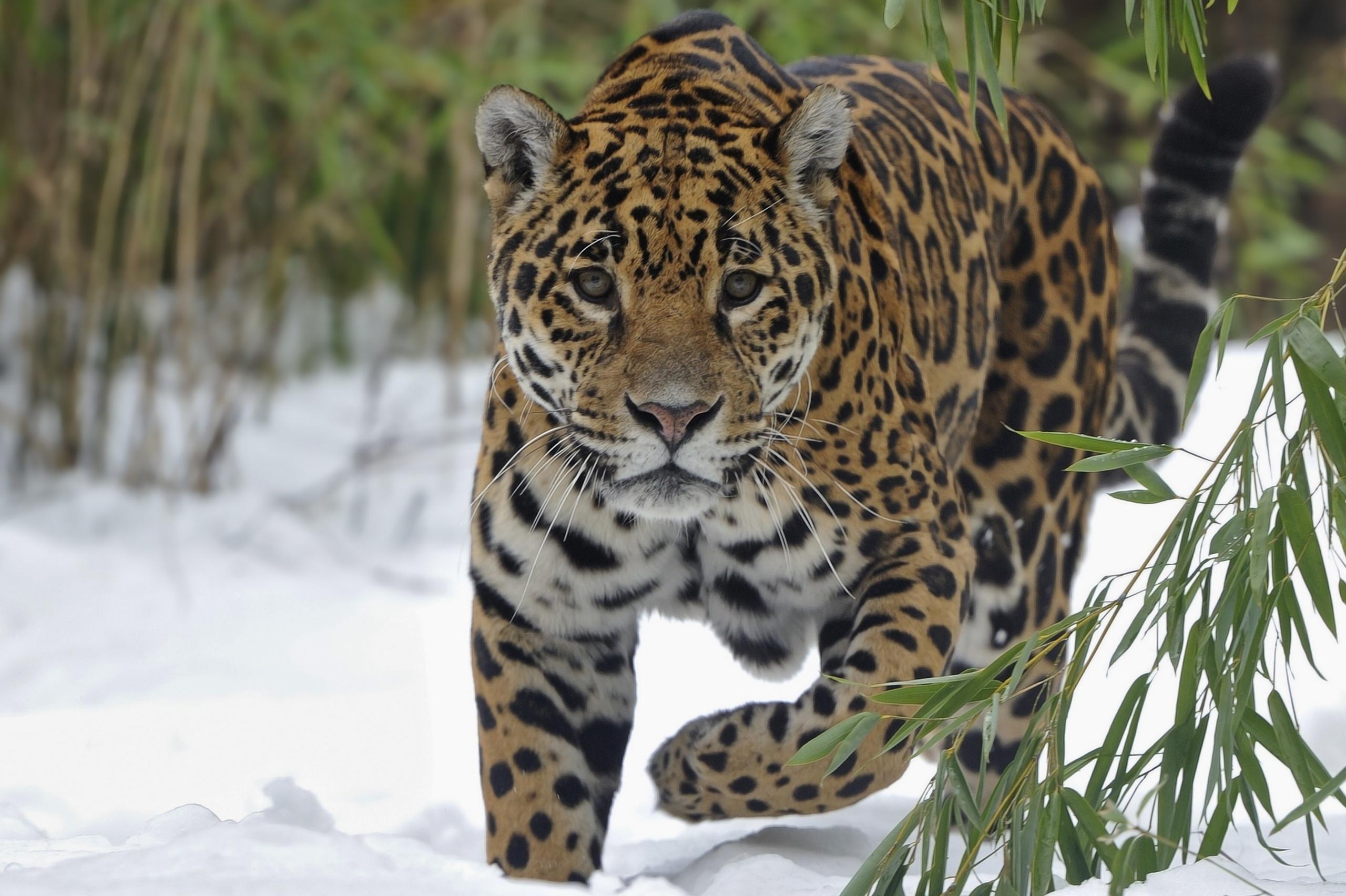 62715 скачать обои Животные, Снег, Большая Кошка, Прогулка, Ягуар - заставки и картинки бесплатно