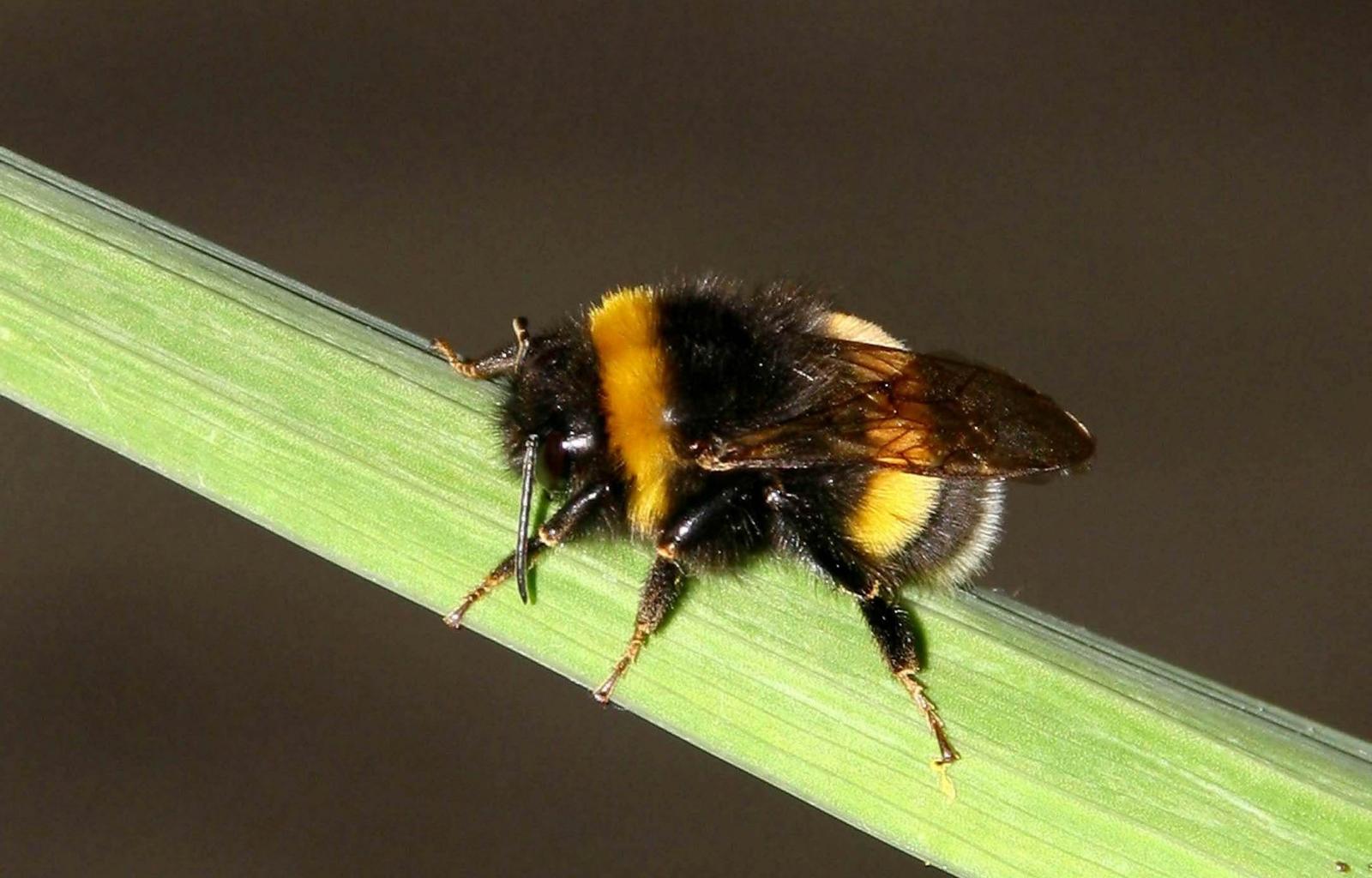 3692 скачать обои Насекомые, Пчелы - заставки и картинки бесплатно