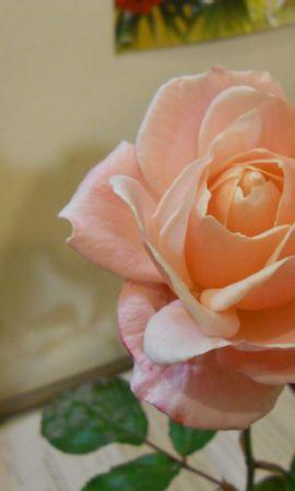 41693 descargar fondo de pantalla Plantas, Flores, Roses: protectores de pantalla e imágenes gratis