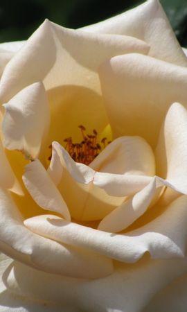 6723 скачать обои Растения, Цветы, Розы - заставки и картинки бесплатно