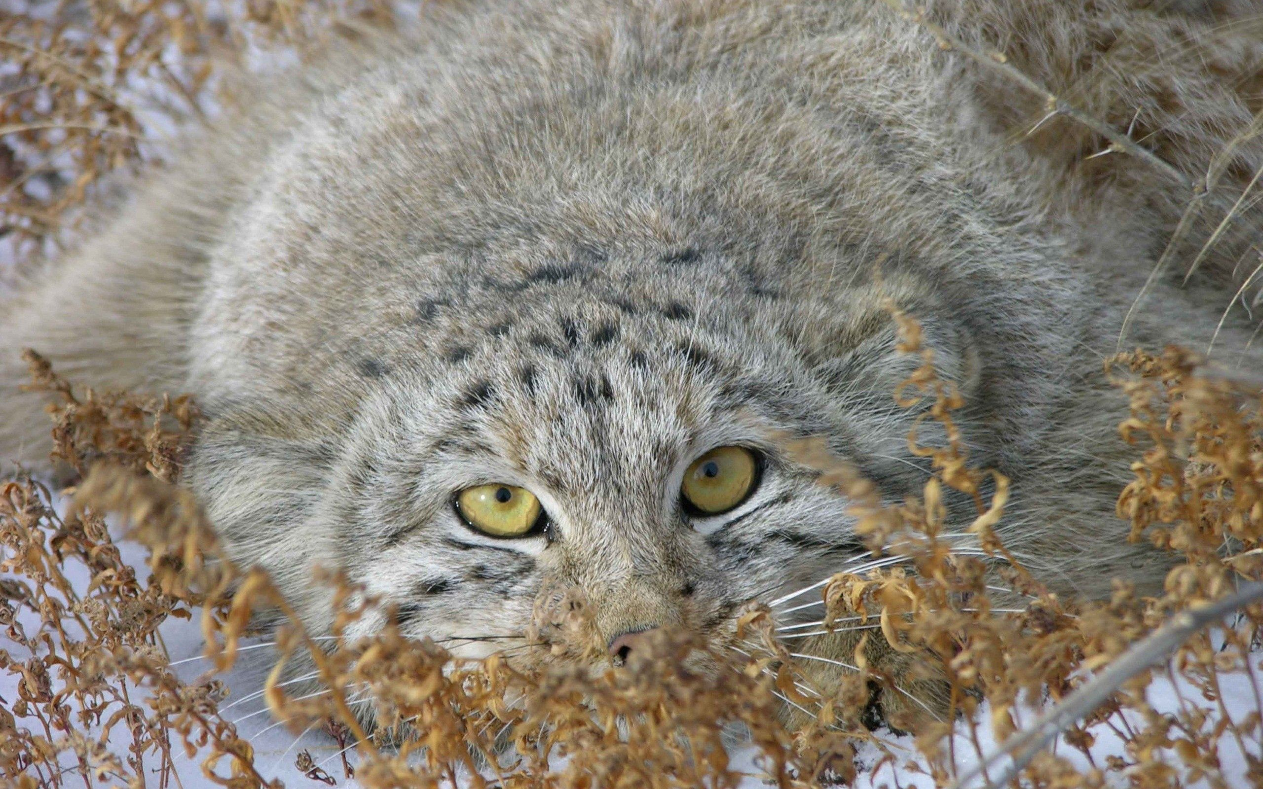 77946 download wallpaper Animals, Grass, To Lie Down, Lie, Hide, Pallas' Cat, Manul screensavers and pictures for free