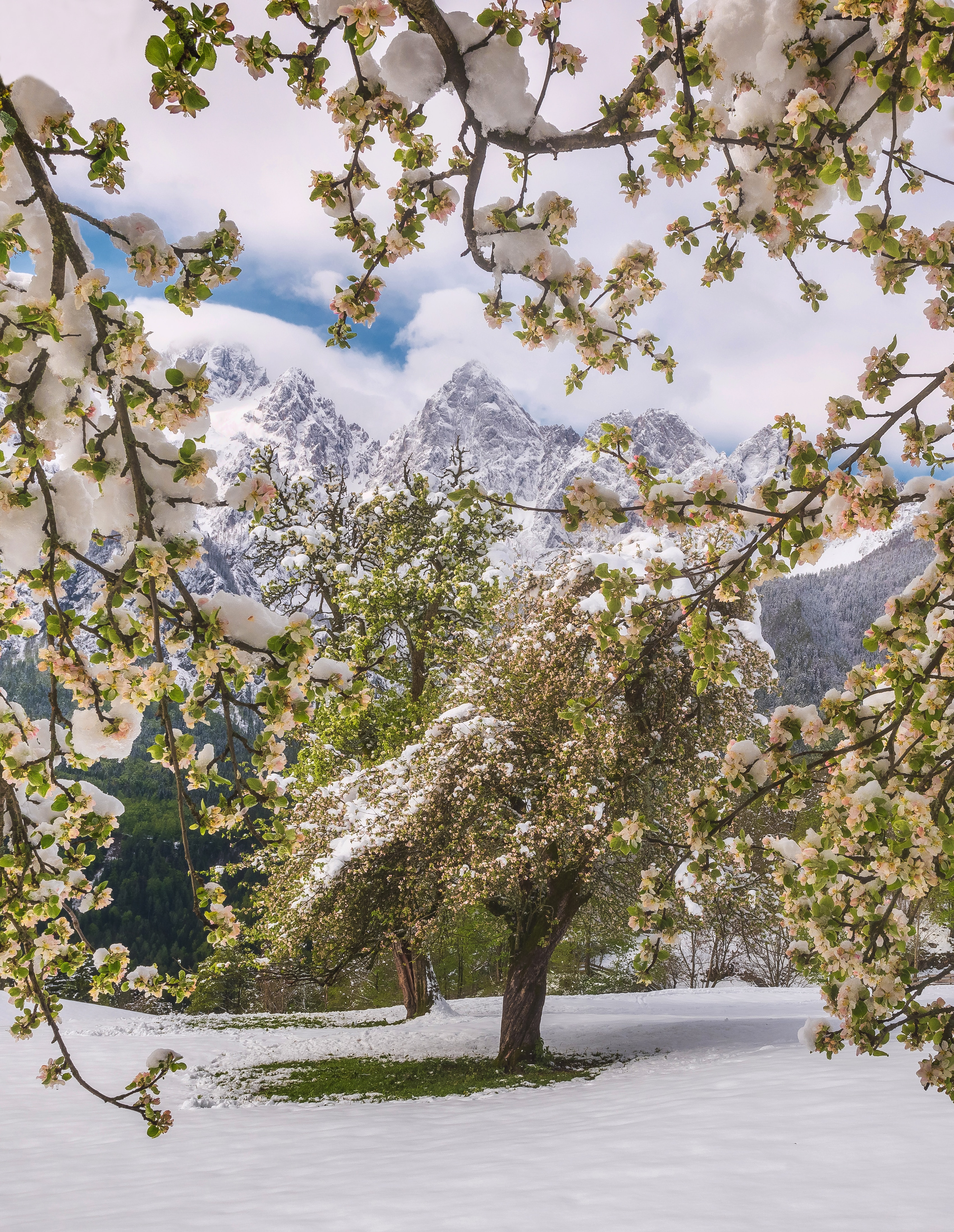 66649 download wallpaper Nature, Flowers, Trees, Mountains, Snow, Snow Covered, Snowbound screensavers and pictures for free