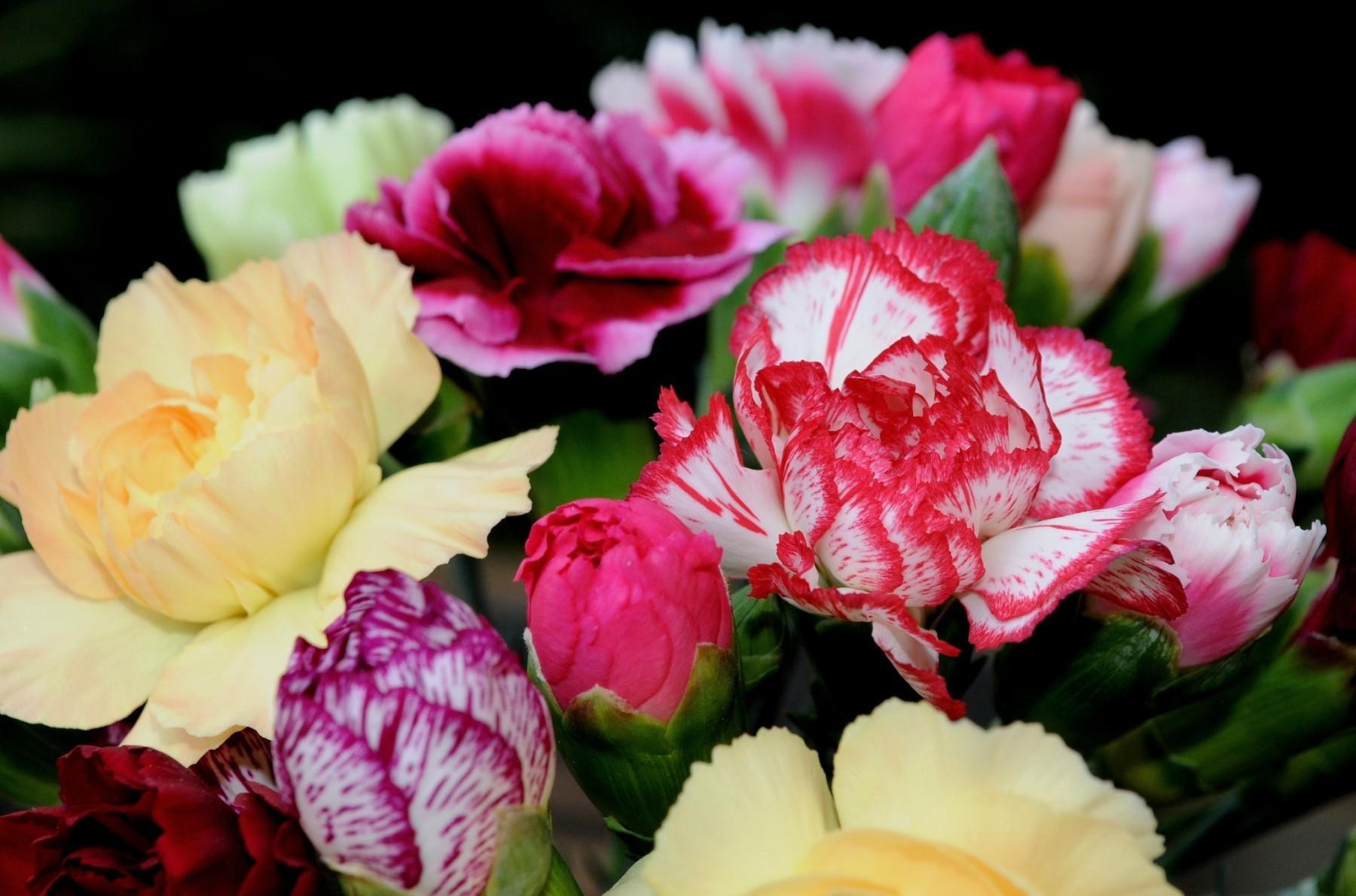 157015 Заставки и Обои Гвоздики на телефон. Скачать Цветы, Гвоздики, Букет, Яркие, Двухцветные картинки бесплатно