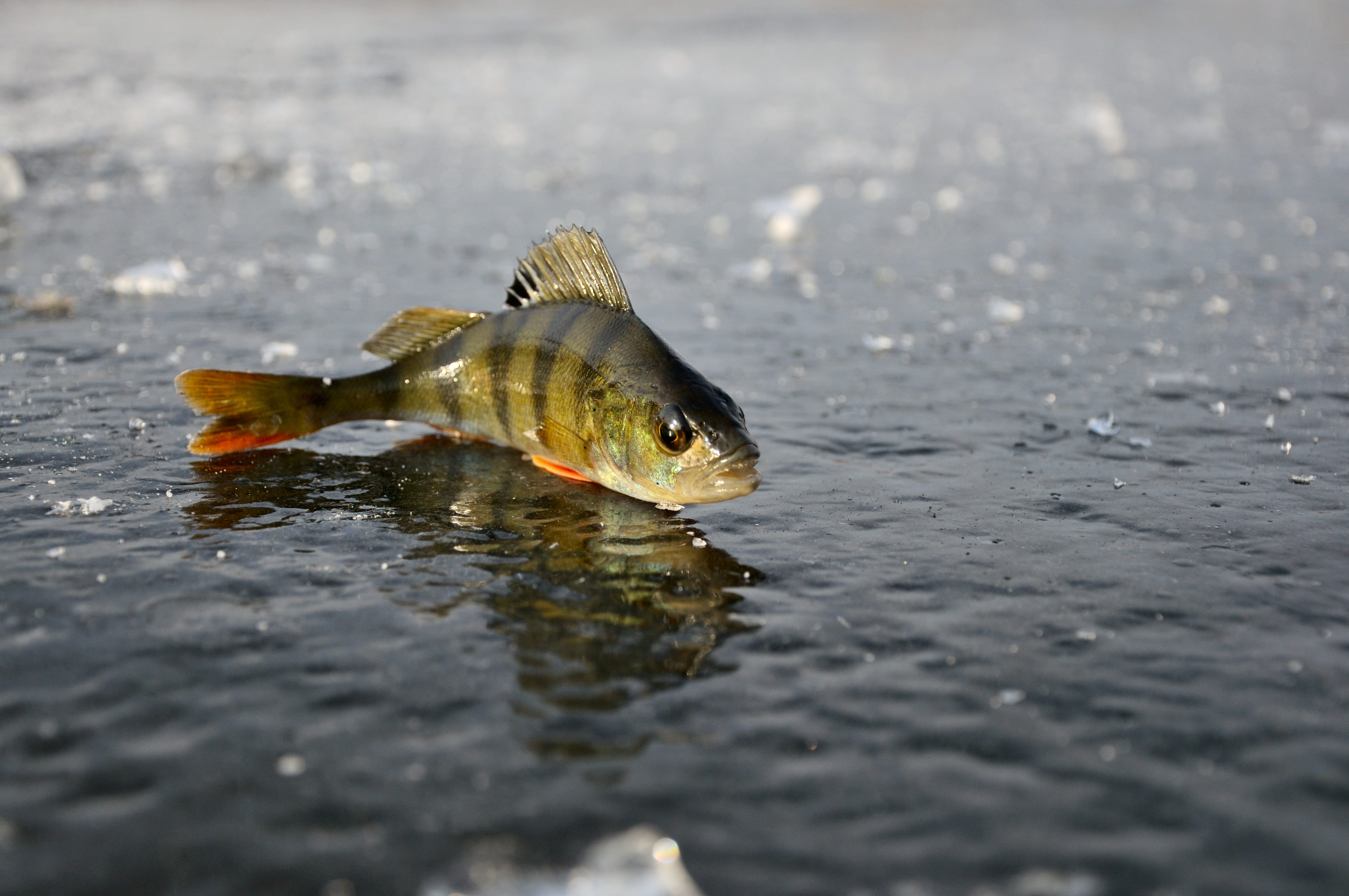 80490 download wallpaper Animals, Winter, Ice, Reflection, Fishing, Perch screensavers and pictures for free