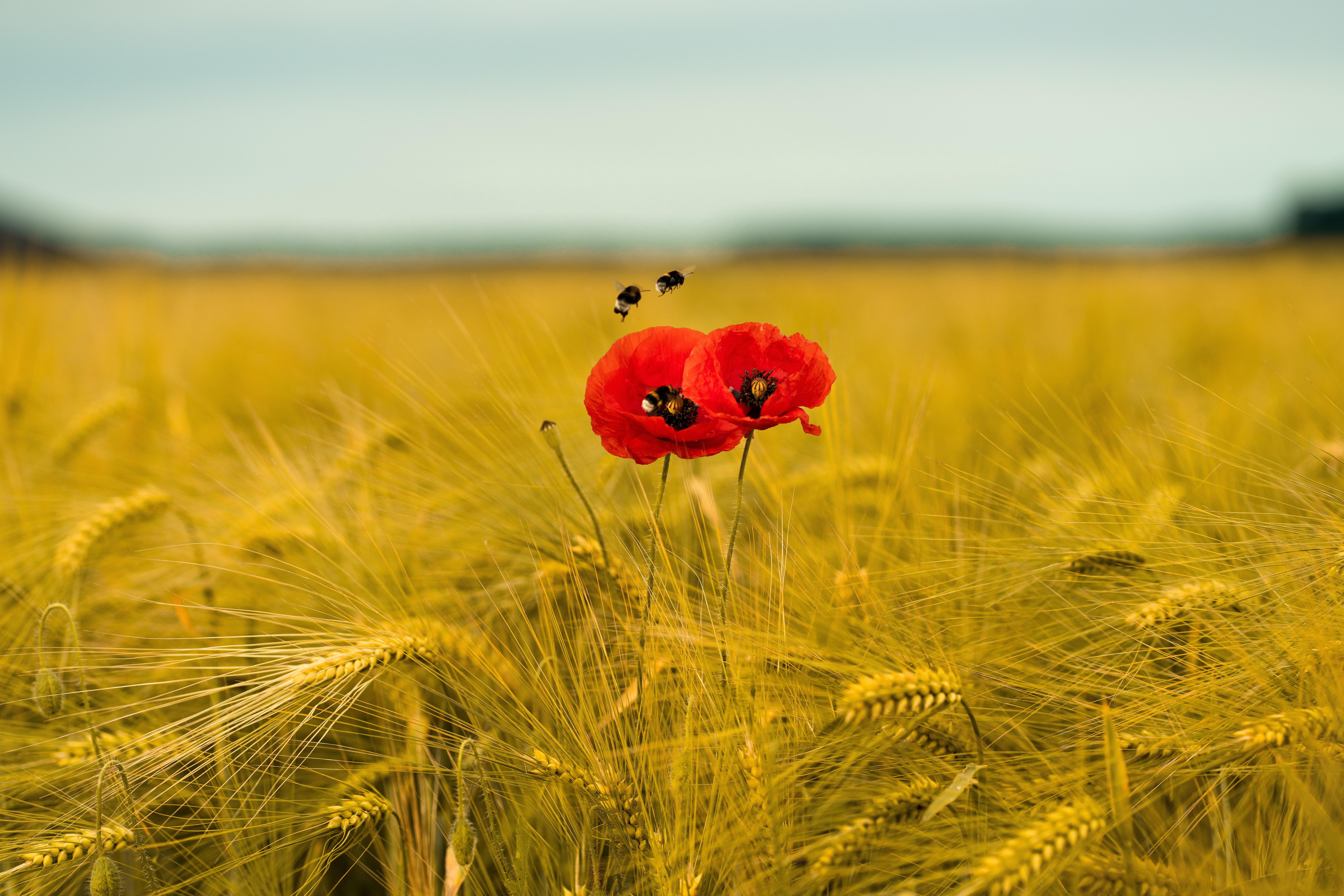 94121 Hintergrundbild herunterladen Mohn, Blumen, Bienen, Ohren, Spikes, Wildblumen - Bildschirmschoner und Bilder kostenlos