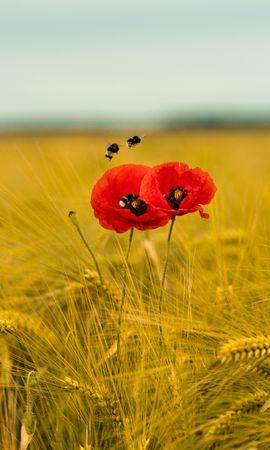 94121 télécharger le fond d'écran Fleurs, Coquelicots, Fleurs Sauvages, Wildflowers, Oreilles, Chaussures À Pointes, Abeilles - économiseurs d'écran et images gratuitement