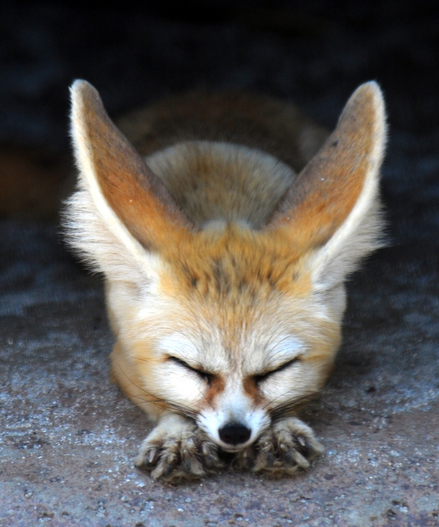11635 download wallpaper Animals, Fox screensavers and pictures for free