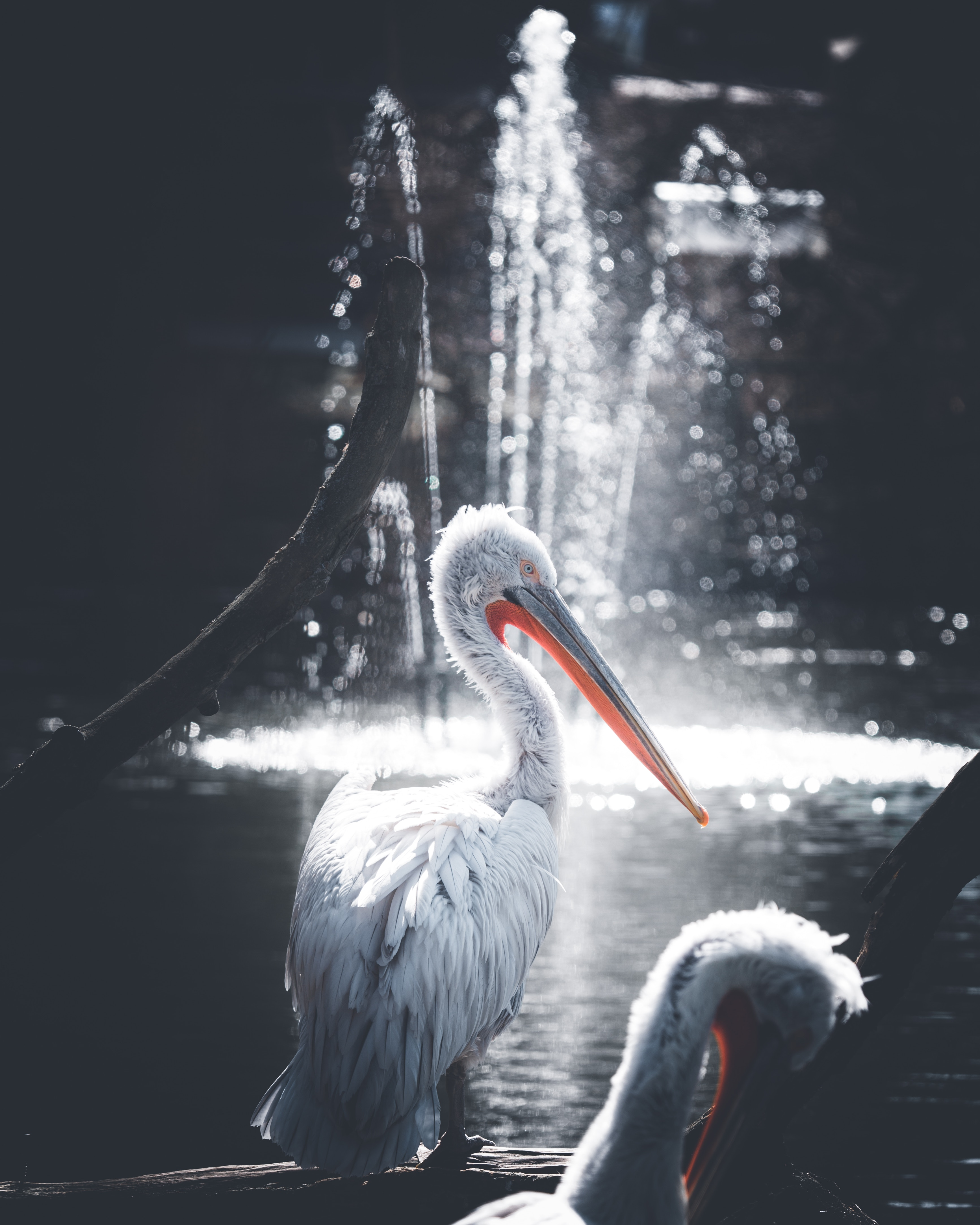 52130 download wallpaper Animals, Pelican, Bird, Water, Glare screensavers and pictures for free