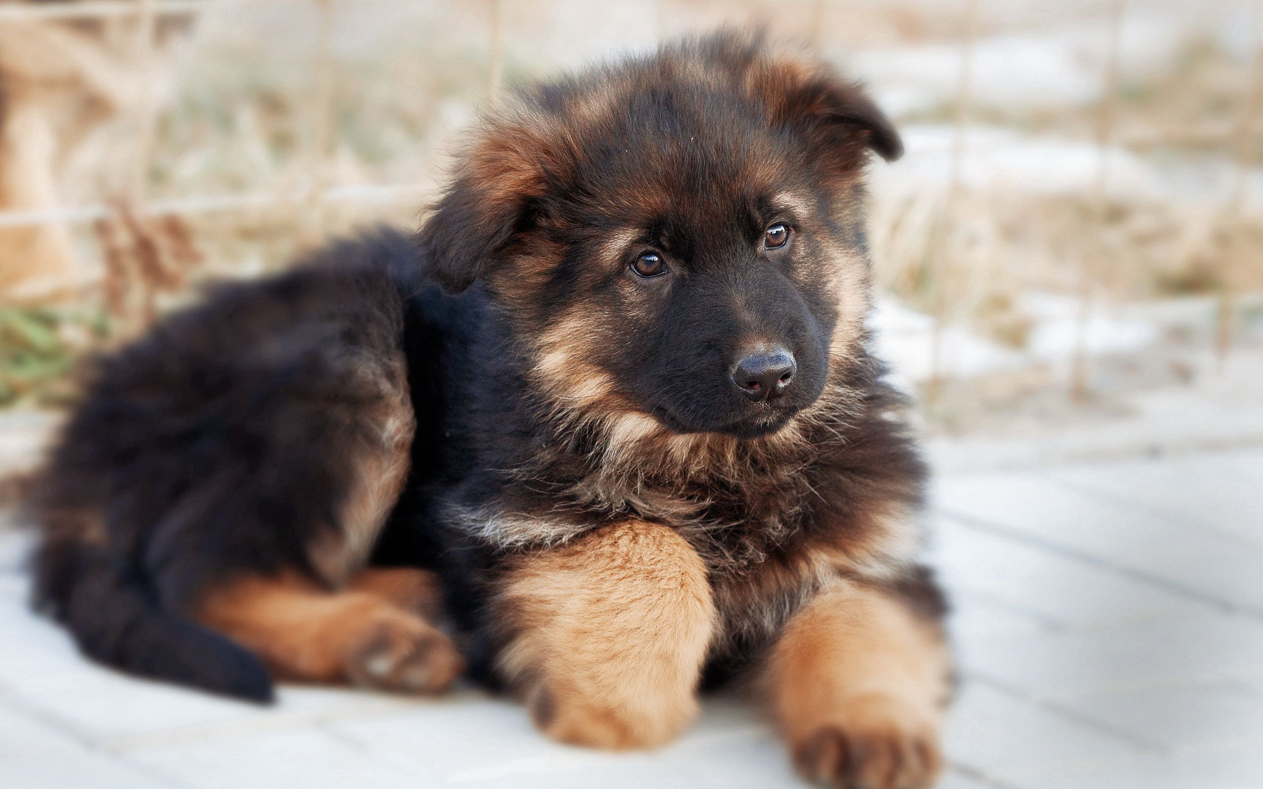 152082 Screensavers and Wallpapers Puppy for phone. Download Animals, Dog, Nice, Sweetheart, Puppy, German Shepherd pictures for free