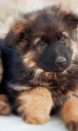 152082 download wallpaper Animals, German Shepherd, Dog, Puppy, Nice, Sweetheart screensavers and pictures for free