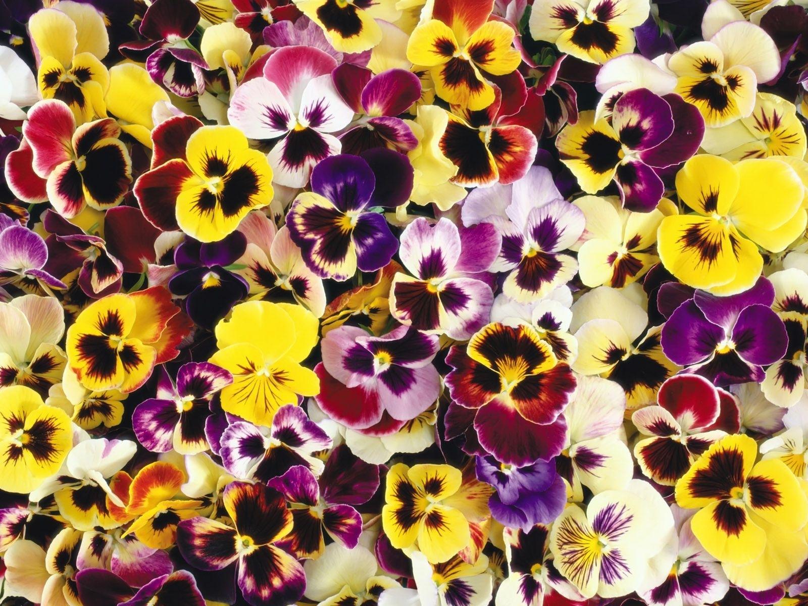 4203 скачать обои Растения, Цветы, Фон, Анютины Глазки - заставки и картинки бесплатно