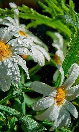 11953 скачать обои Растения, Цветы, Ромашки, Капли - заставки и картинки бесплатно