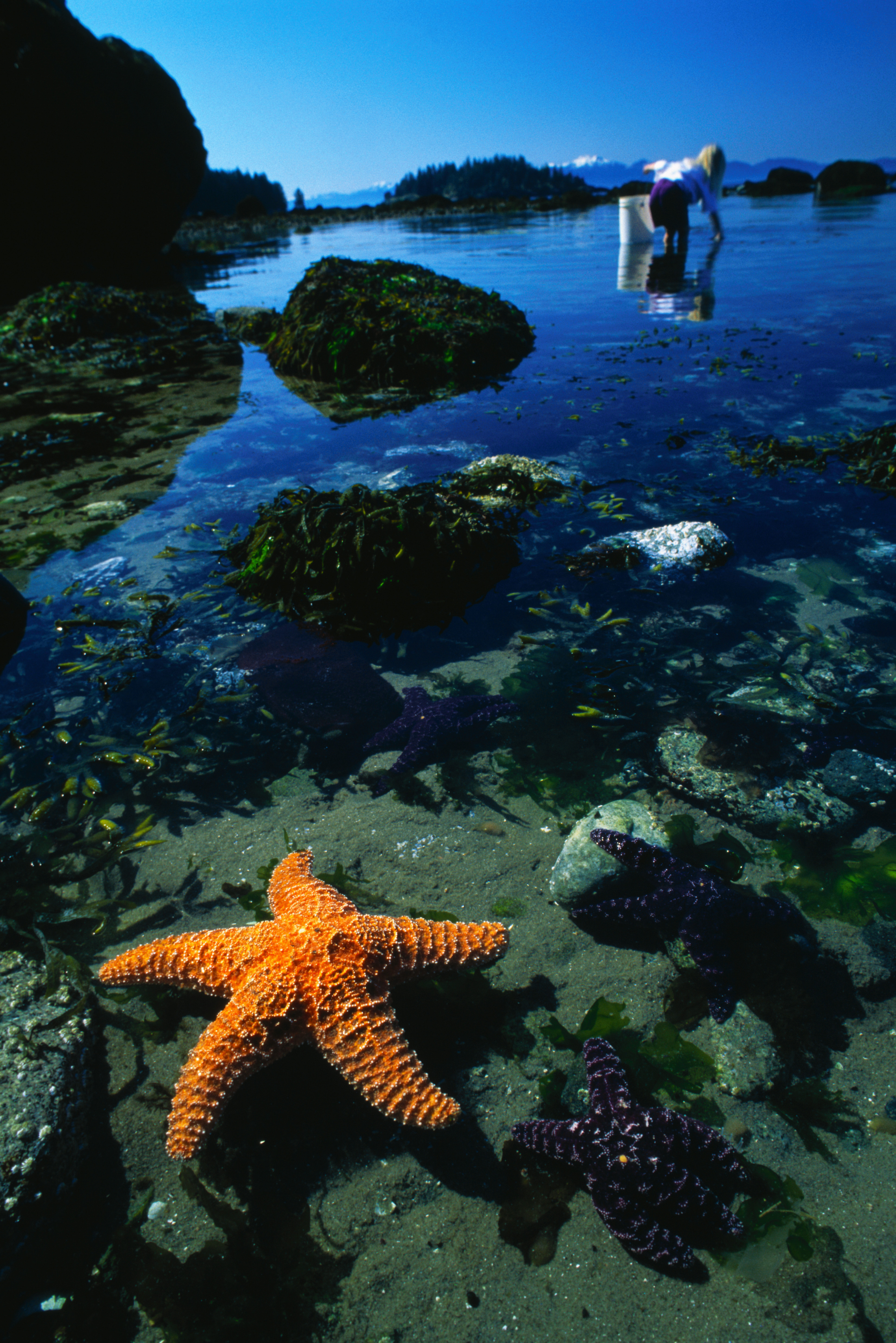 14252 download wallpaper Animals, Water, Background, Sea, Starfish screensavers and pictures for free