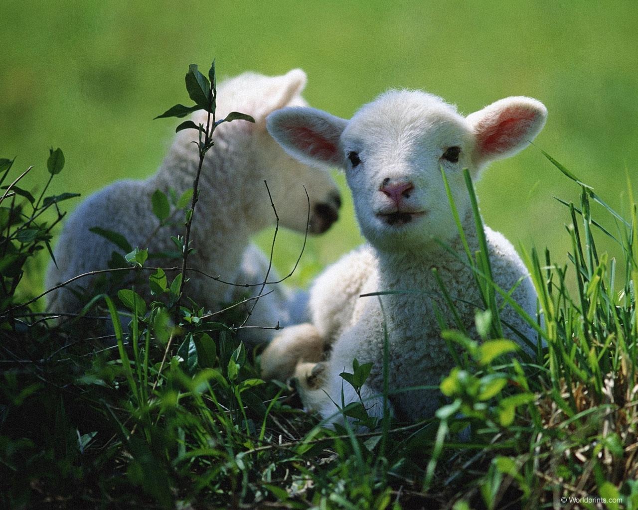 5362 Hintergrundbild herunterladen Tiere, Rams - Bildschirmschoner und Bilder kostenlos