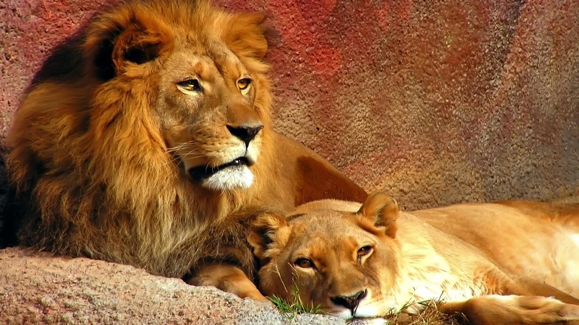 35751 descargar fondo de pantalla Animales, Leones: protectores de pantalla e imágenes gratis