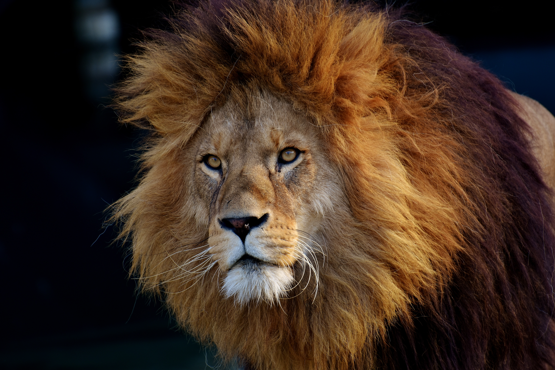 156867 papel de parede 360x640 em seu telefone gratuitamente, baixe imagens Animais, Leão, Focinho, Um Leão, Predator, Predador 360x640 em seu celular