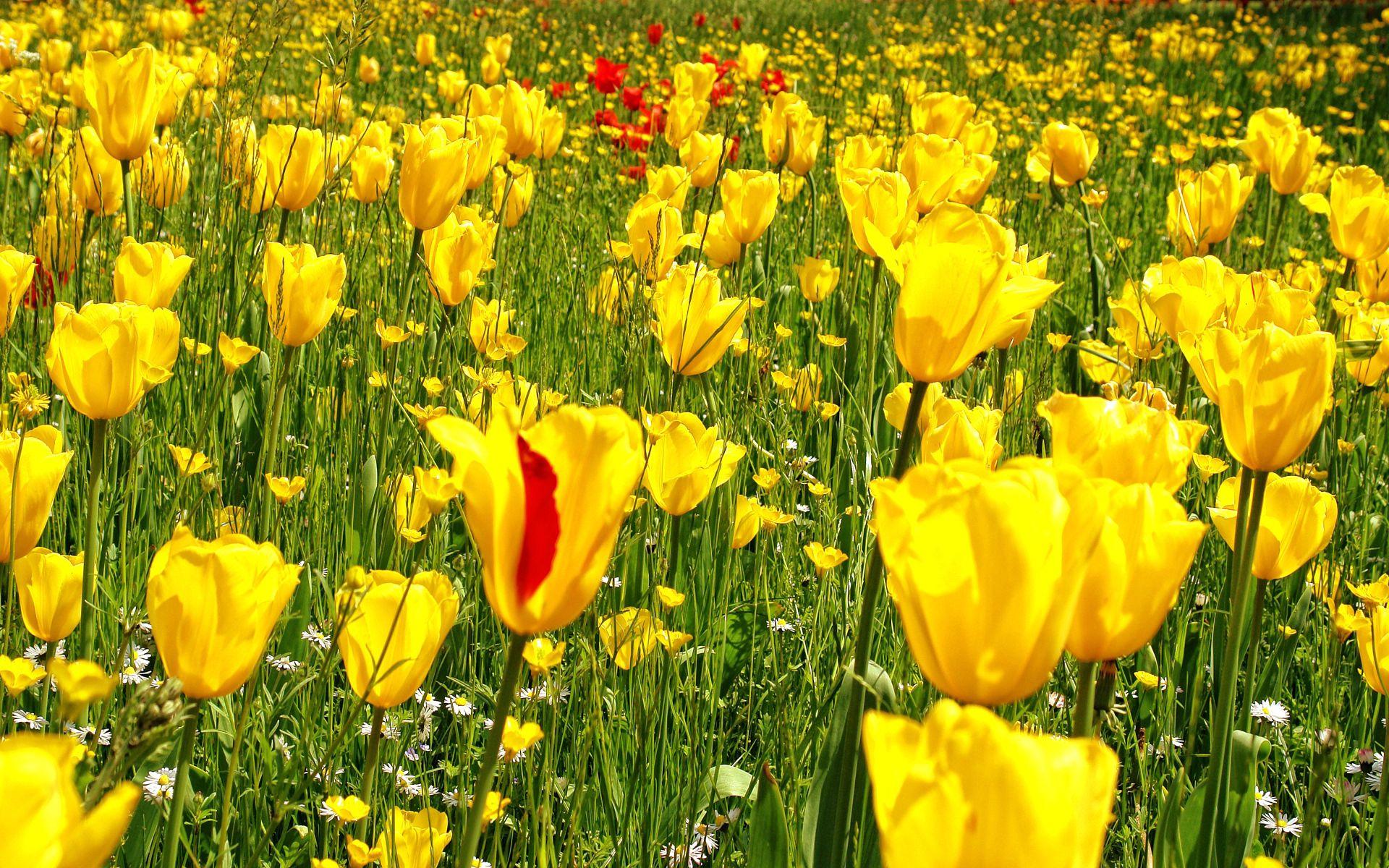 145165 Заставки и Обои Одуванчики на телефон. Скачать Цветы, Ромашки, Одуванчики, Луг, Трава, Природа, Тюльпаны картинки бесплатно