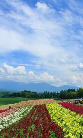 141013 скачать обои Природа, Поле, Маки, Ряды, Япония, Плантация, Цветы - заставки и картинки бесплатно