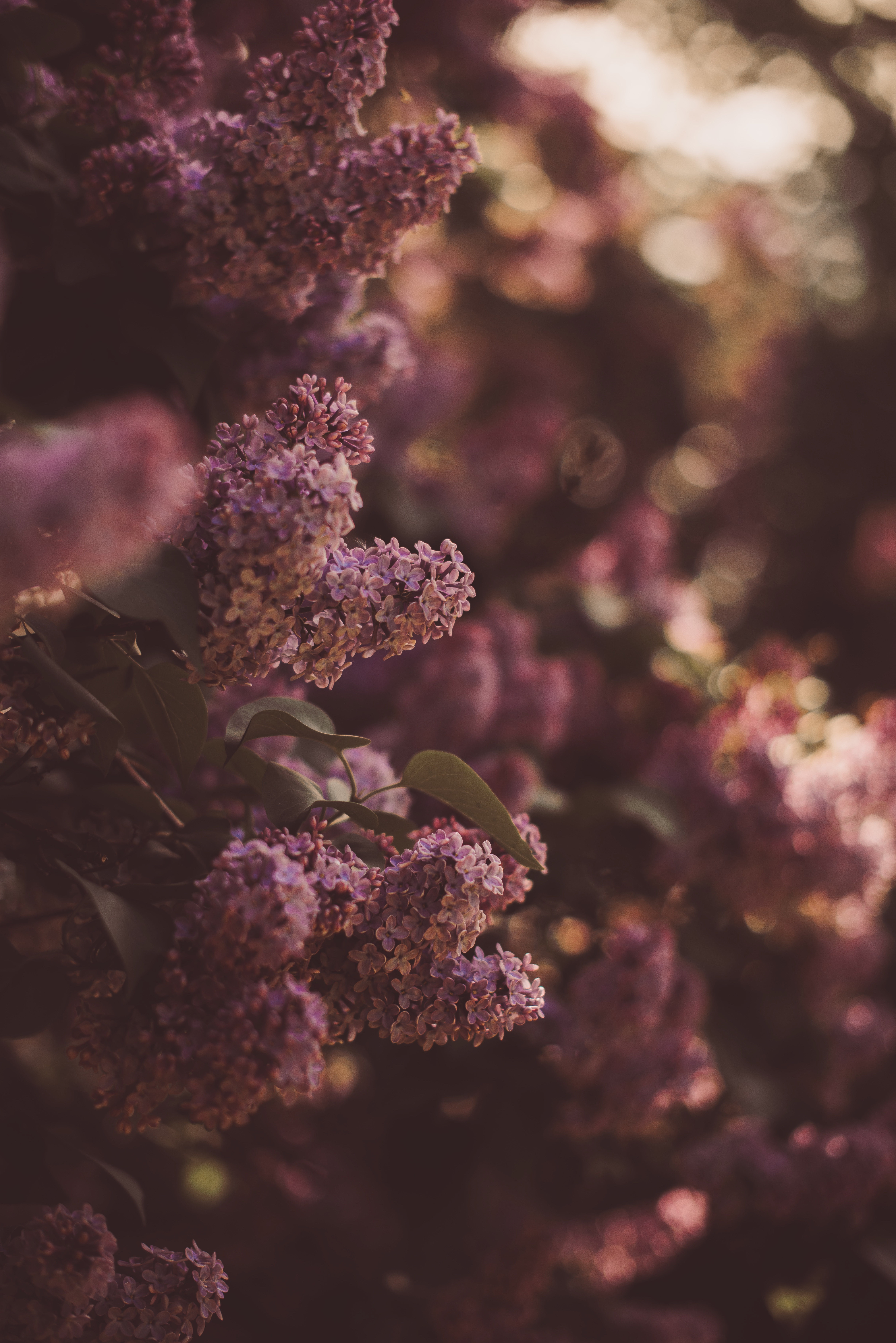 125371 Screensavers and Wallpapers Lilac for phone. Download Flowers, Lilac, Bush, Bloom, Flowering, Spring pictures for free