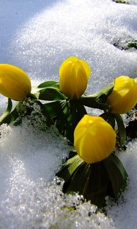 44690 télécharger le fond d'écran Plantes, Fleurs, Neige - économiseurs d'écran et images gratuitement