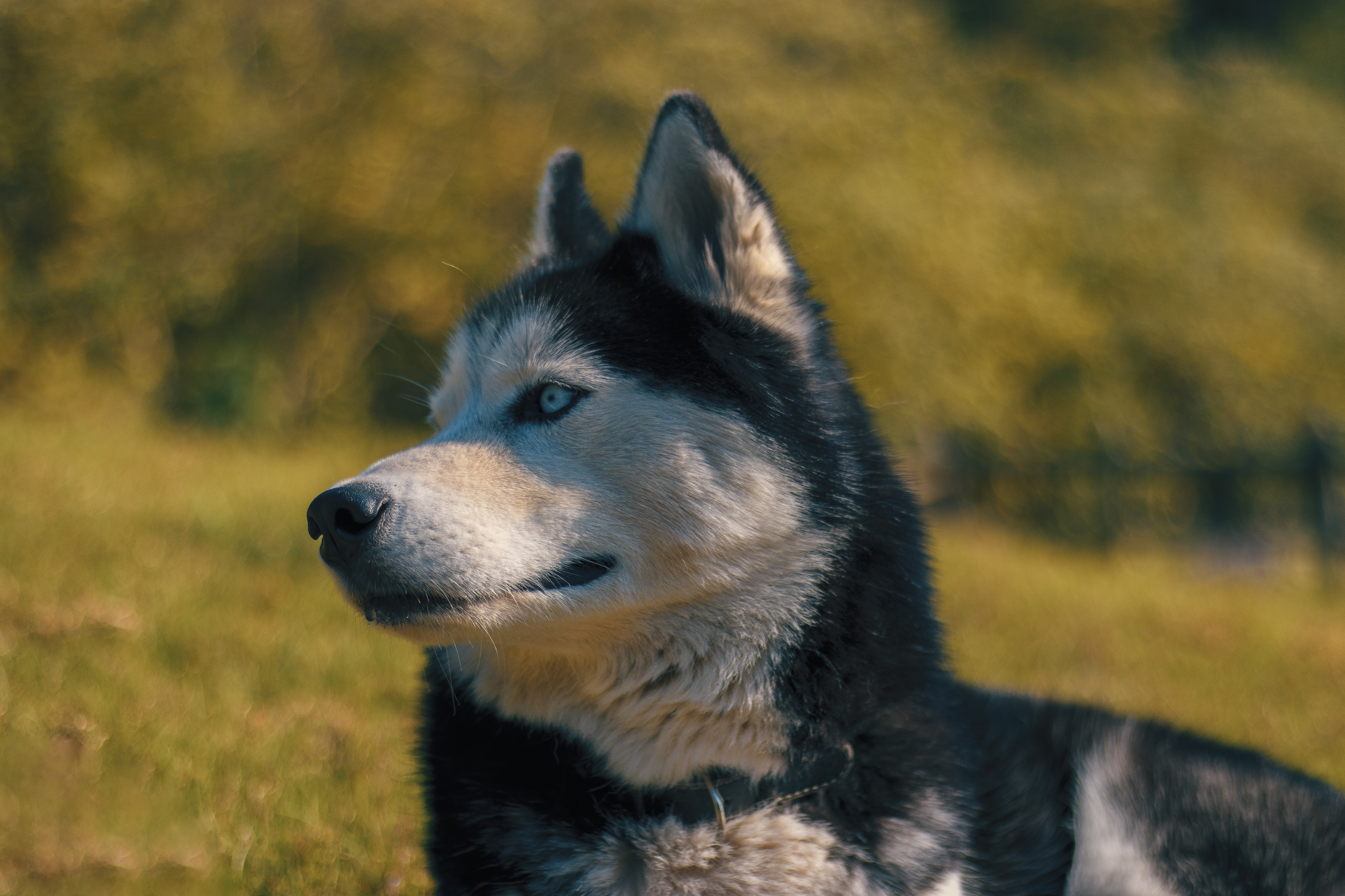 149577 download wallpaper Animals, Husky, Haska, Muzzle, Dog, Blur, Smooth screensavers and pictures for free