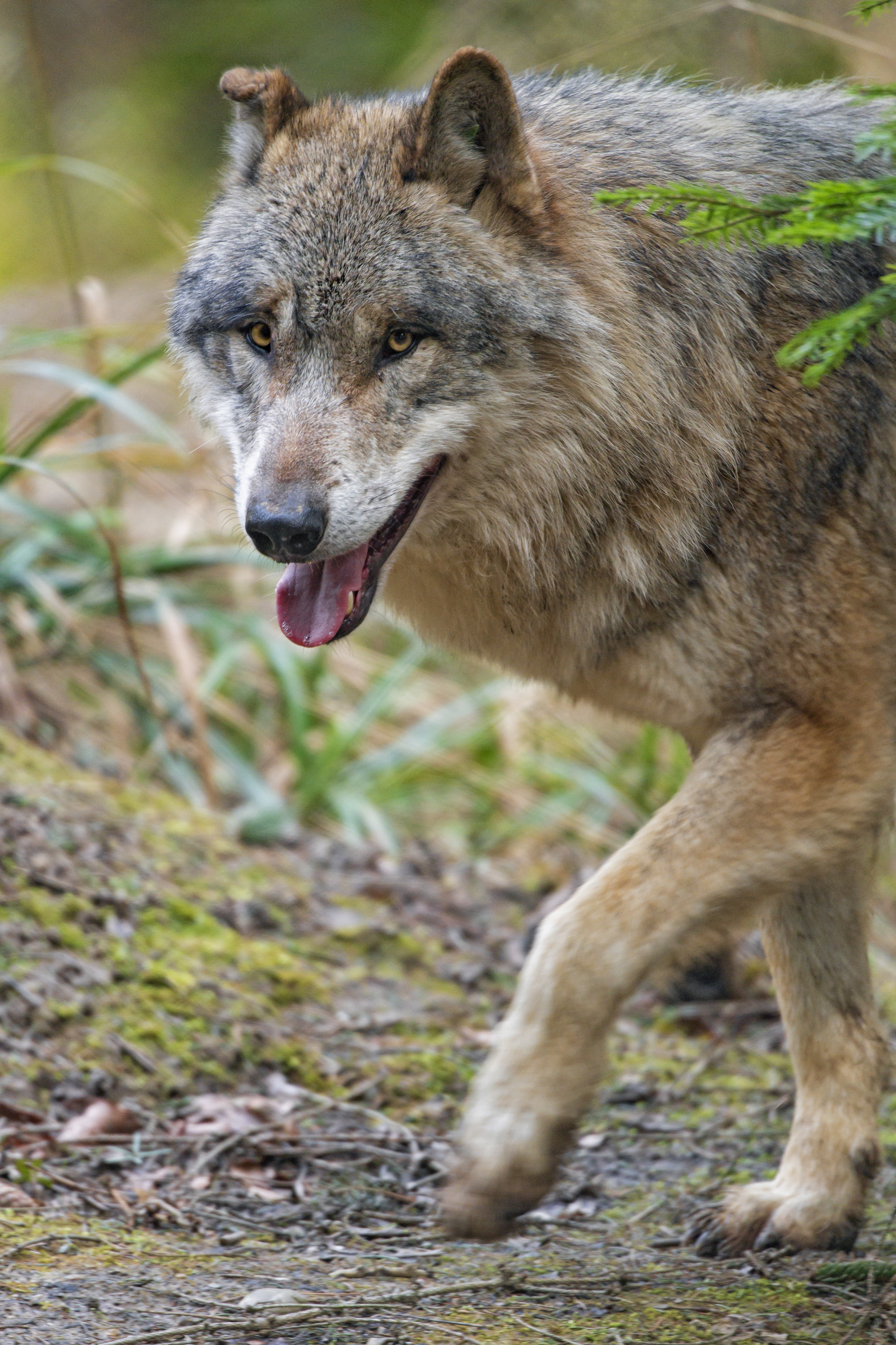 152129 download wallpaper Animals, Wolf, Predator, Sight, Opinion, Animal, Muzzle screensavers and pictures for free
