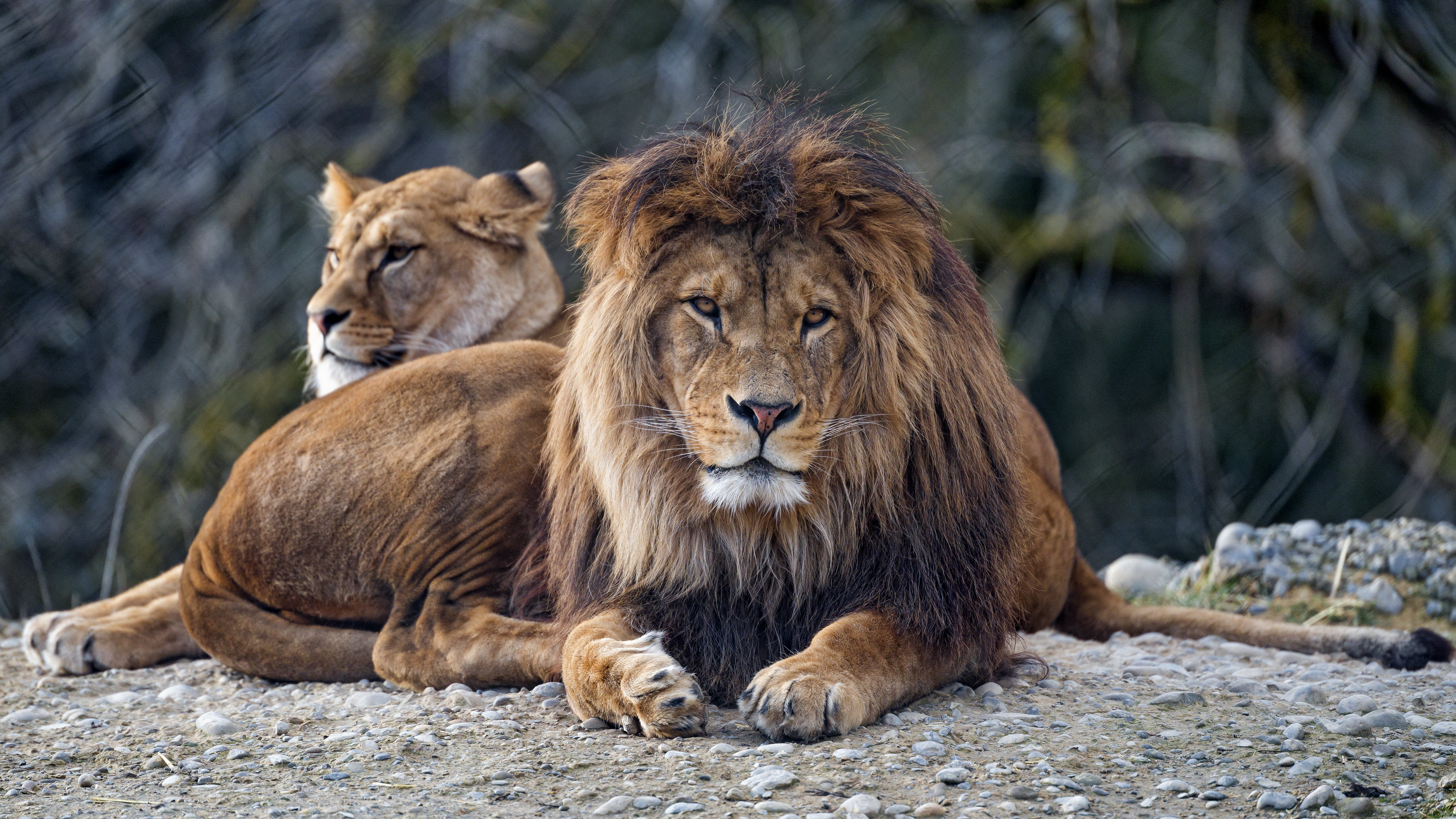 99261 download wallpaper Animals, Lion, Predator, Sight, Opinion, Big Cat, Muzzle screensavers and pictures for free