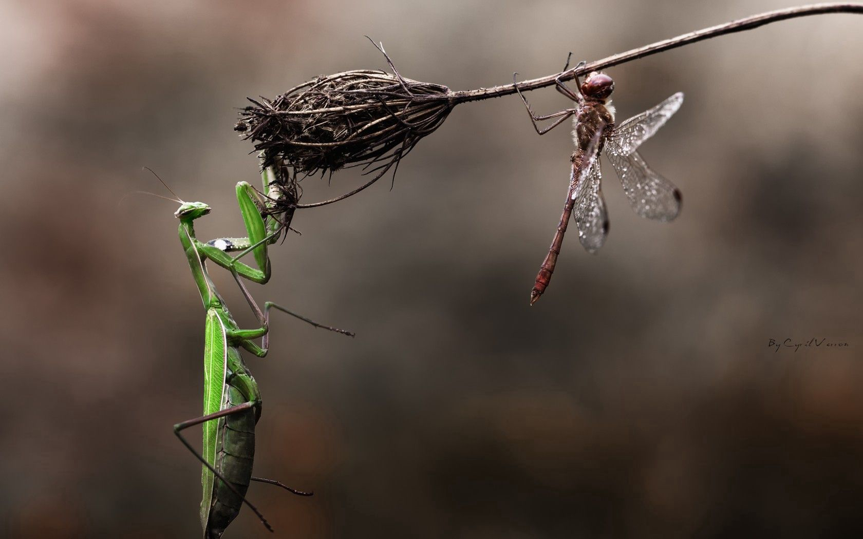 153378 download wallpaper Animals, Mantis, Dragonfly, Blade Of Grass, Blade, Macro, Flower, Dry, Danger, Insects screensavers and pictures for free