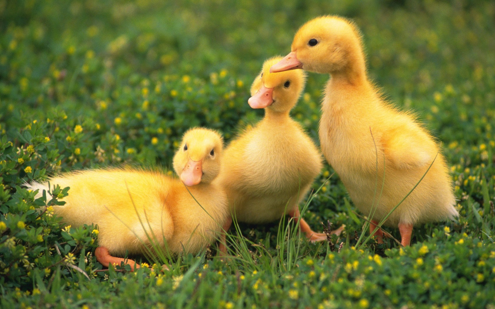 39481 обои 720x1520 на телефон бесплатно, скачать картинки Животные, Птицы, Утки 720x1520 на мобильный