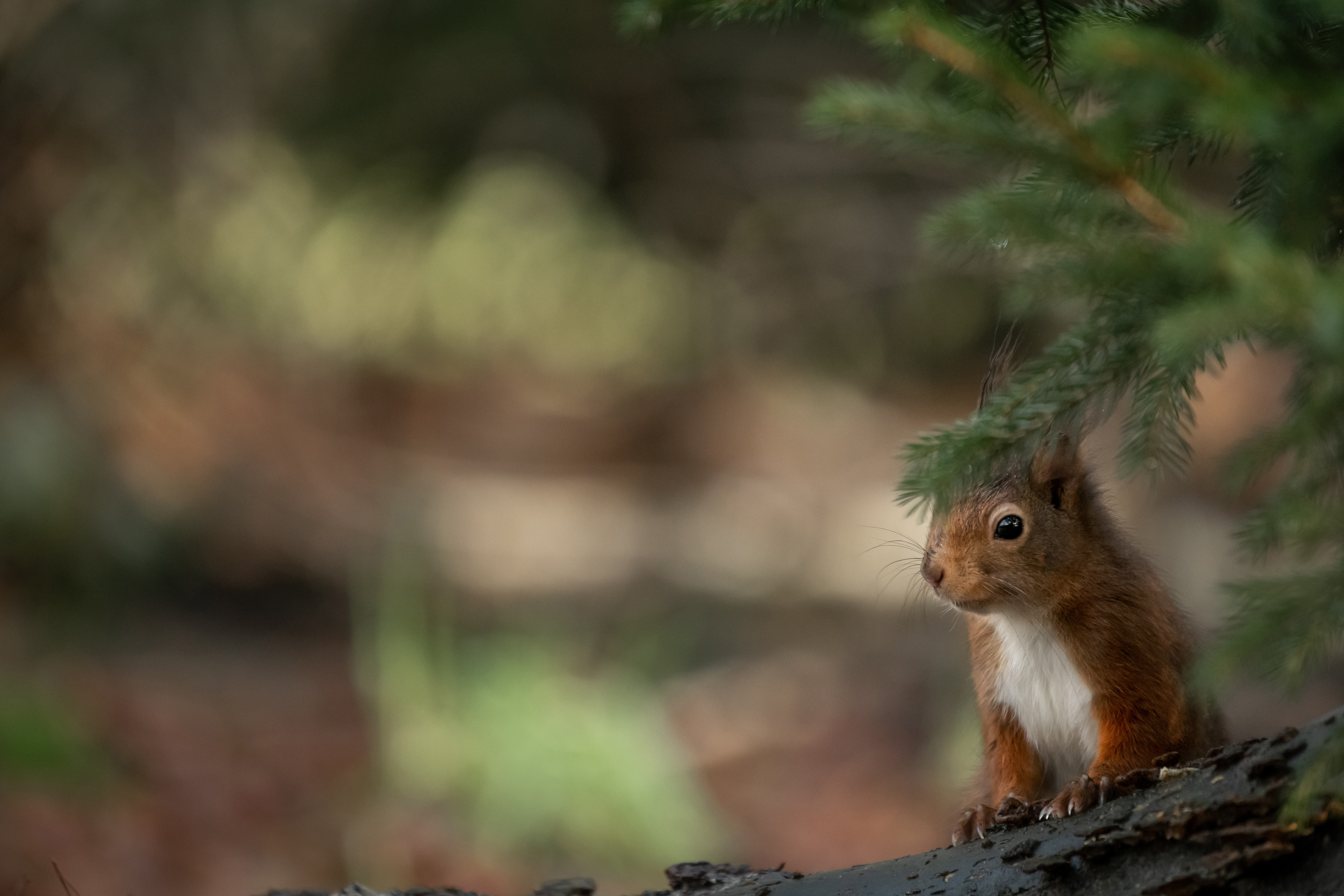 94126 download wallpaper Animals, Squirrel, Brown, Branch, Animal screensavers and pictures for free