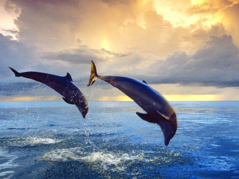 31709 Hintergrundbild herunterladen Delfine, Tiere - Bildschirmschoner und Bilder kostenlos