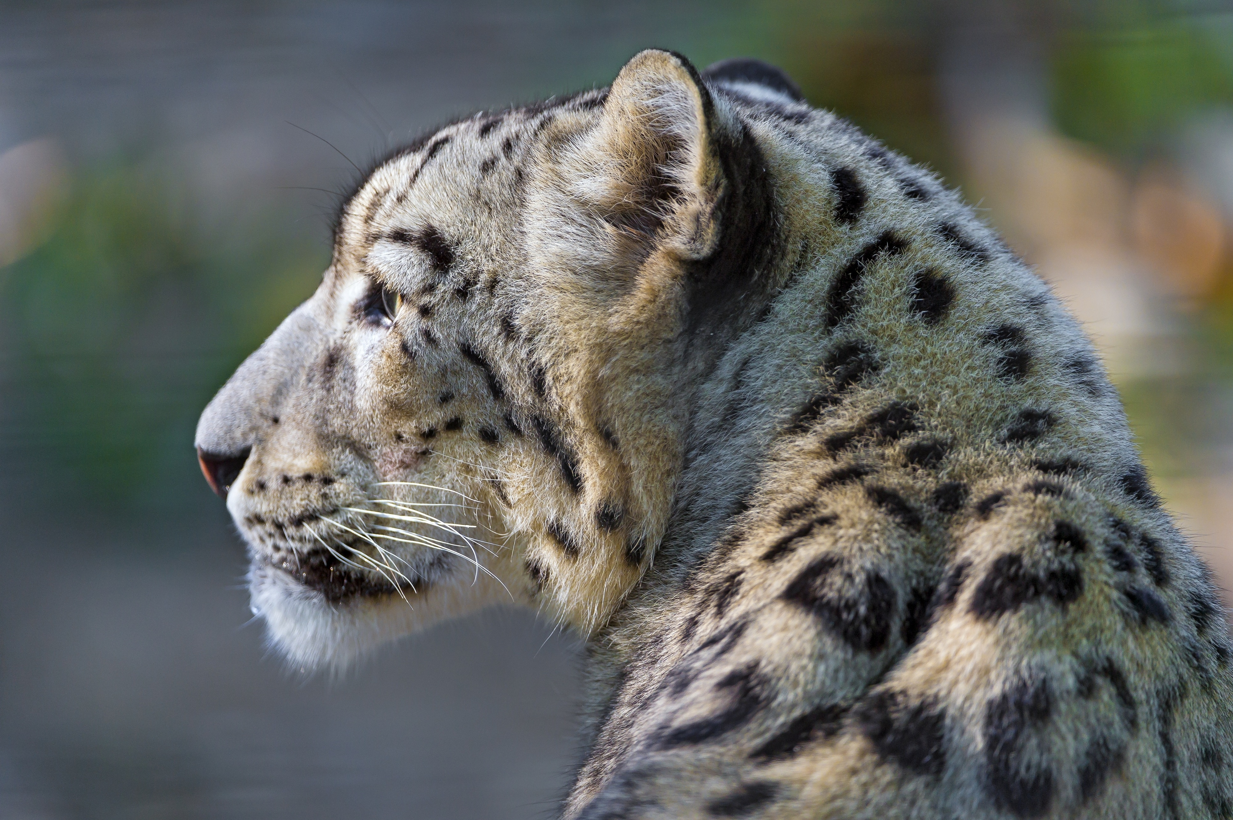 132359 download wallpaper Animals, Sight, Opinion, Profile, Snow Leopard screensavers and pictures for free