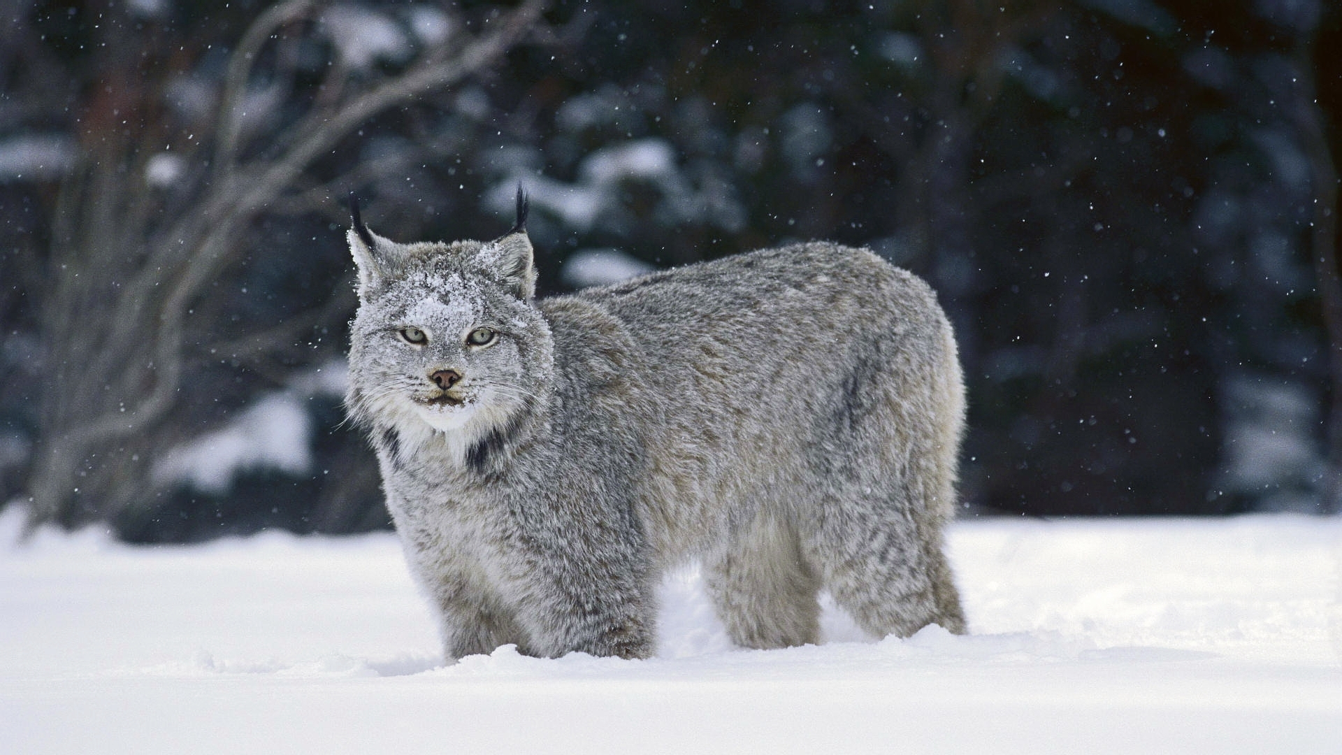 28574 download wallpaper Animals, Bobcats screensavers and pictures for free