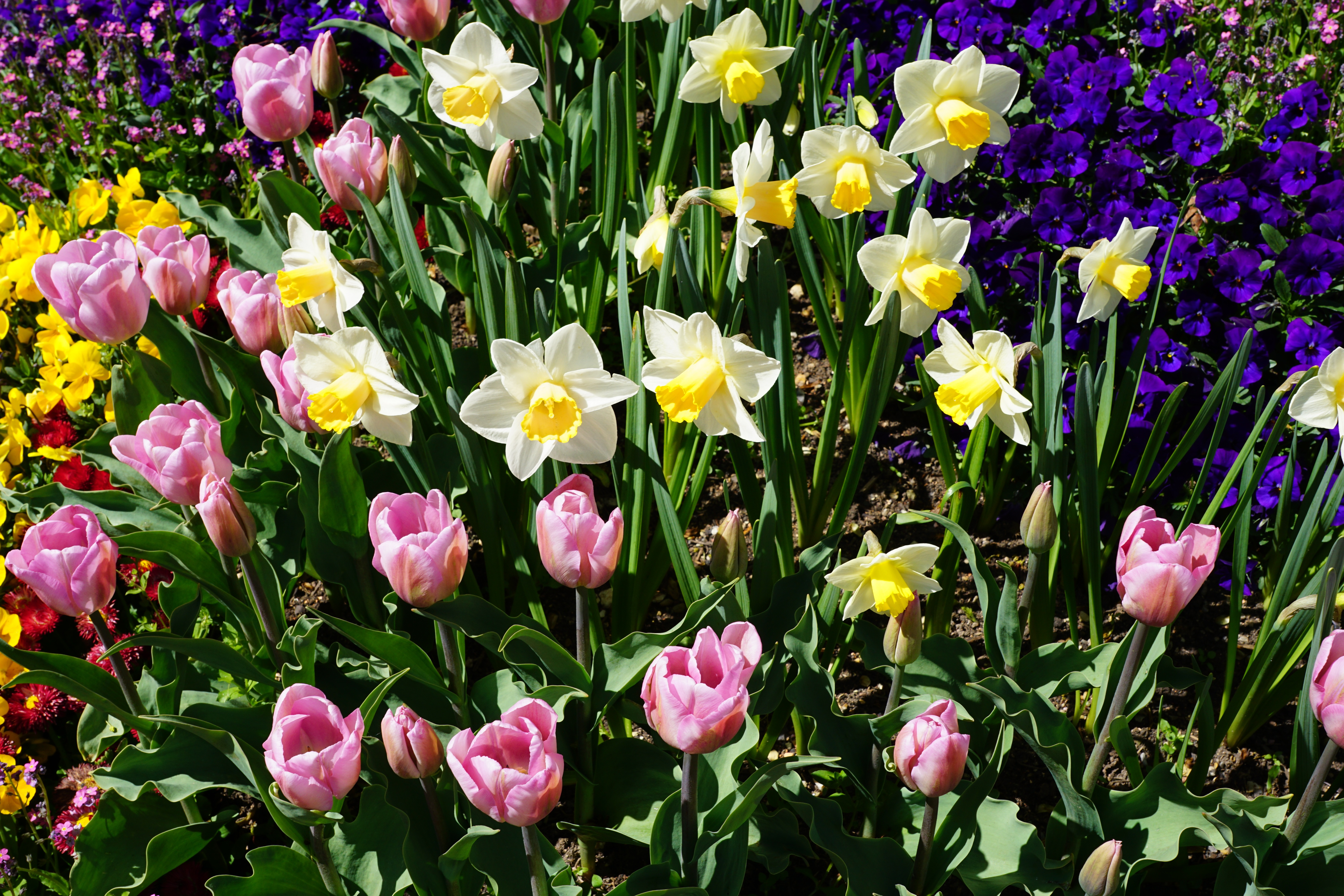 82064 Screensavers and Wallpapers Flower Bed for phone. Download Flowers, Tulips, Narcissussi, Flower Bed, Flowerbed pictures for free