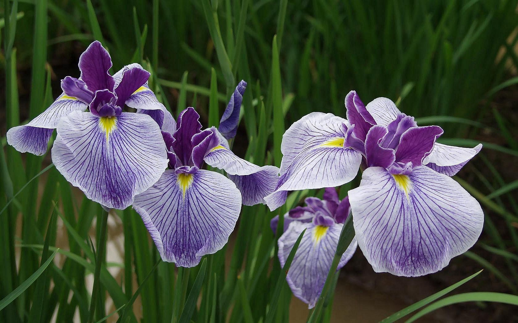 153313 download wallpaper Flowers, Irises, Greens, Close-Up screensavers and pictures for free