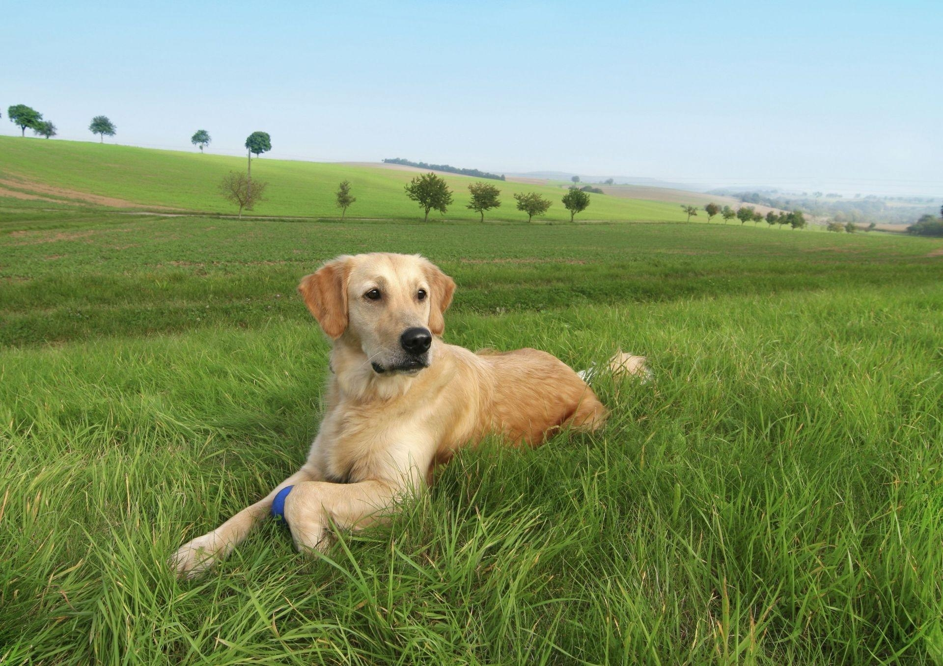 147949 download wallpaper Animals, Dog, Labrador, Grass, Trees, To Lie Down, Lie screensavers and pictures for free
