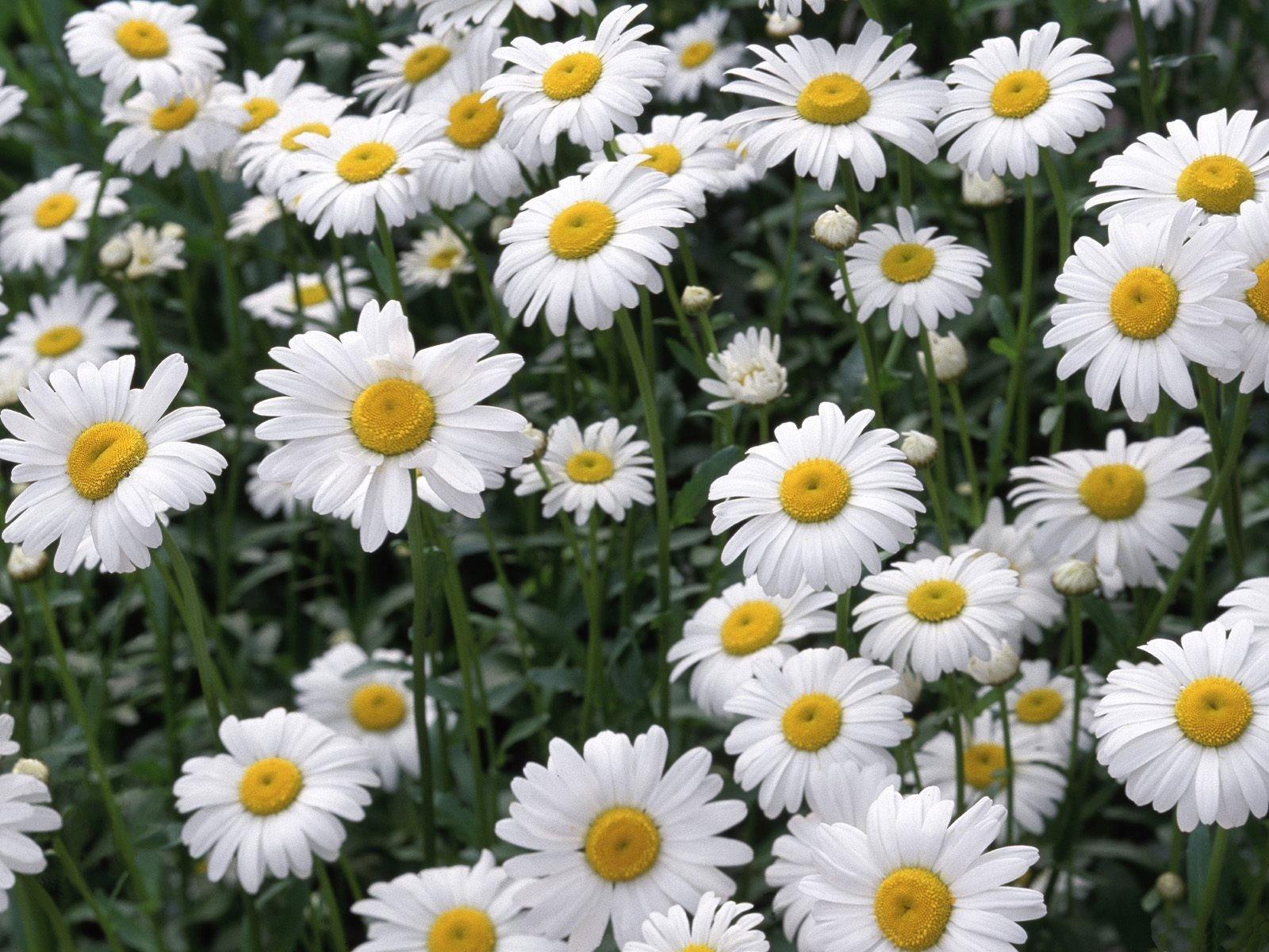 9396 descargar fondo de pantalla Plantas, Flores, Camomila: protectores de pantalla e imágenes gratis